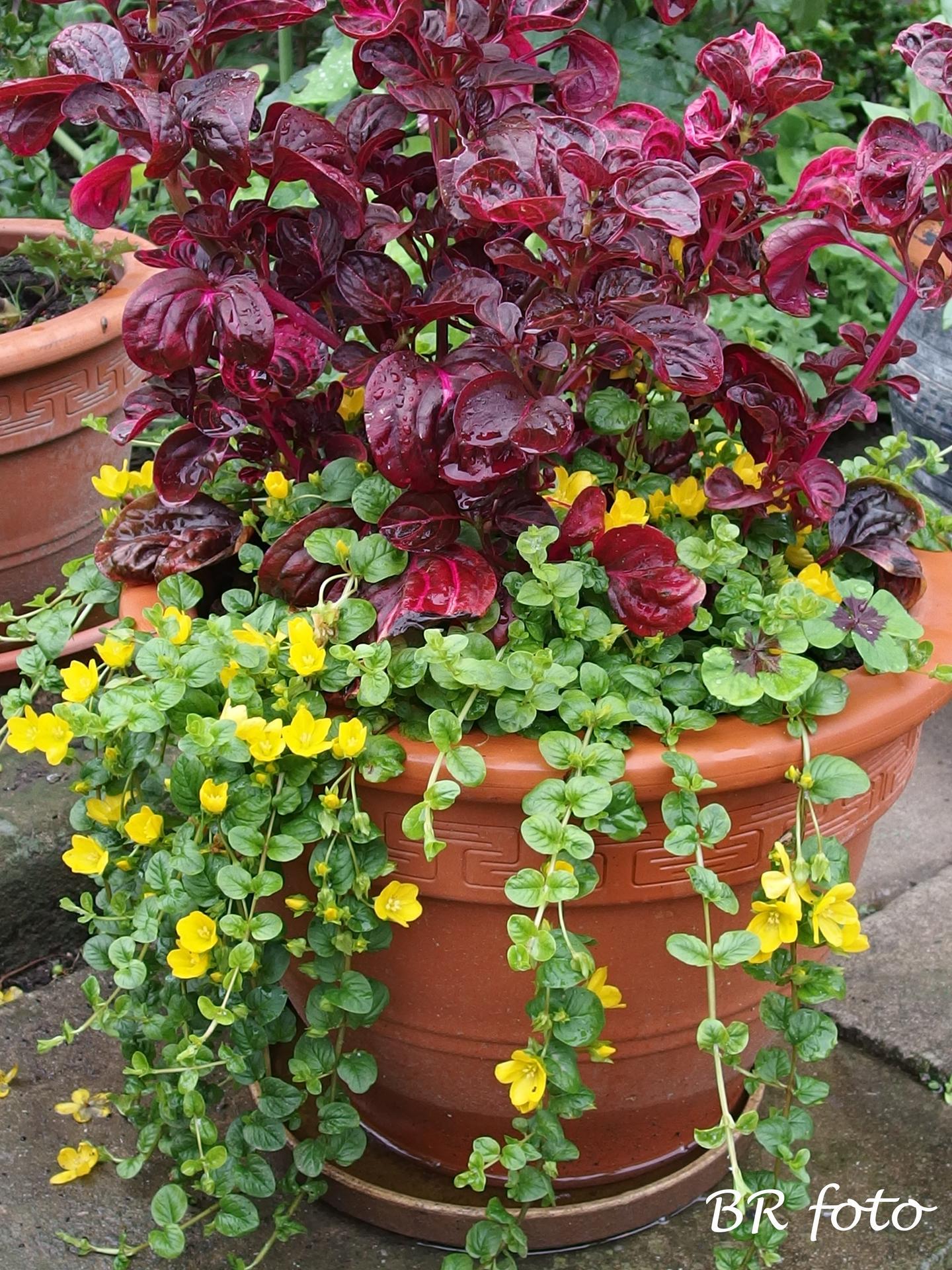 Zahrada v červnu - vše roste a kvete jako o život.... - vrbina penízková a irezína