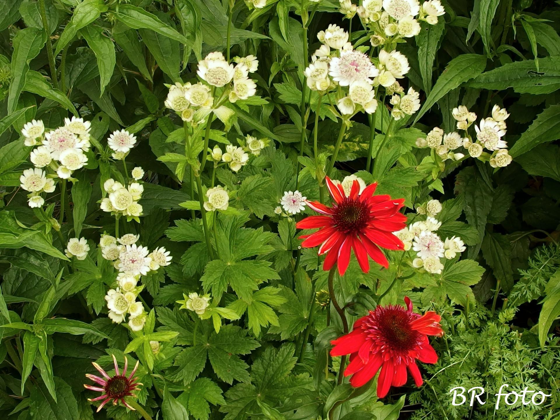 Zahrada v červnu - vše roste a kvete jako o život.... - bílá jarmanka a červená echinacea /echinacea eccentric/