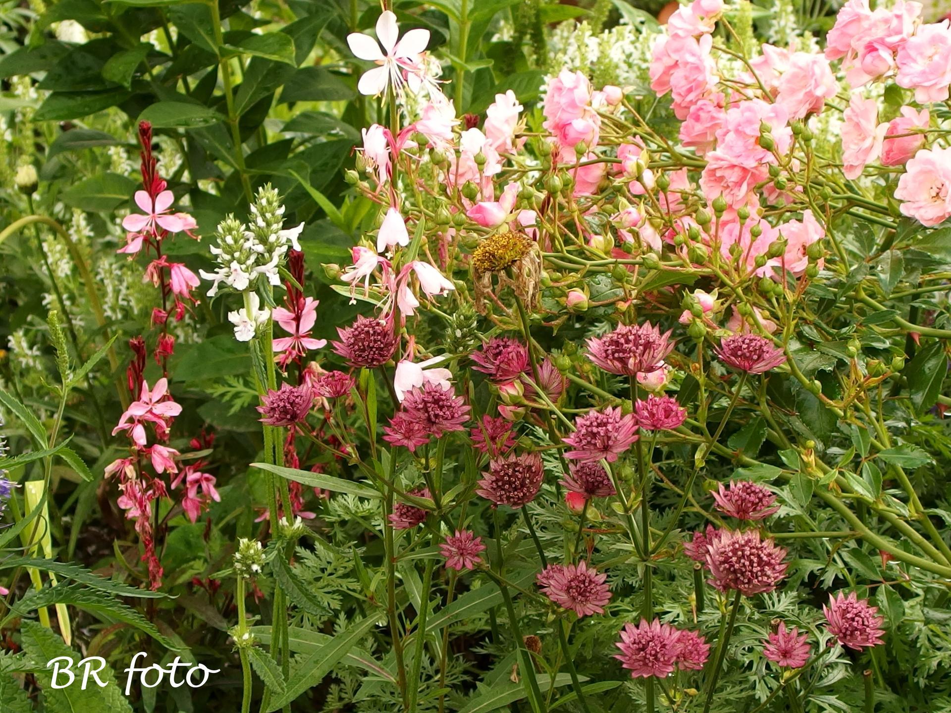 Zahrada v červnu - vše roste a kvete jako o život.... - růžová jarmanka, svíčkovec