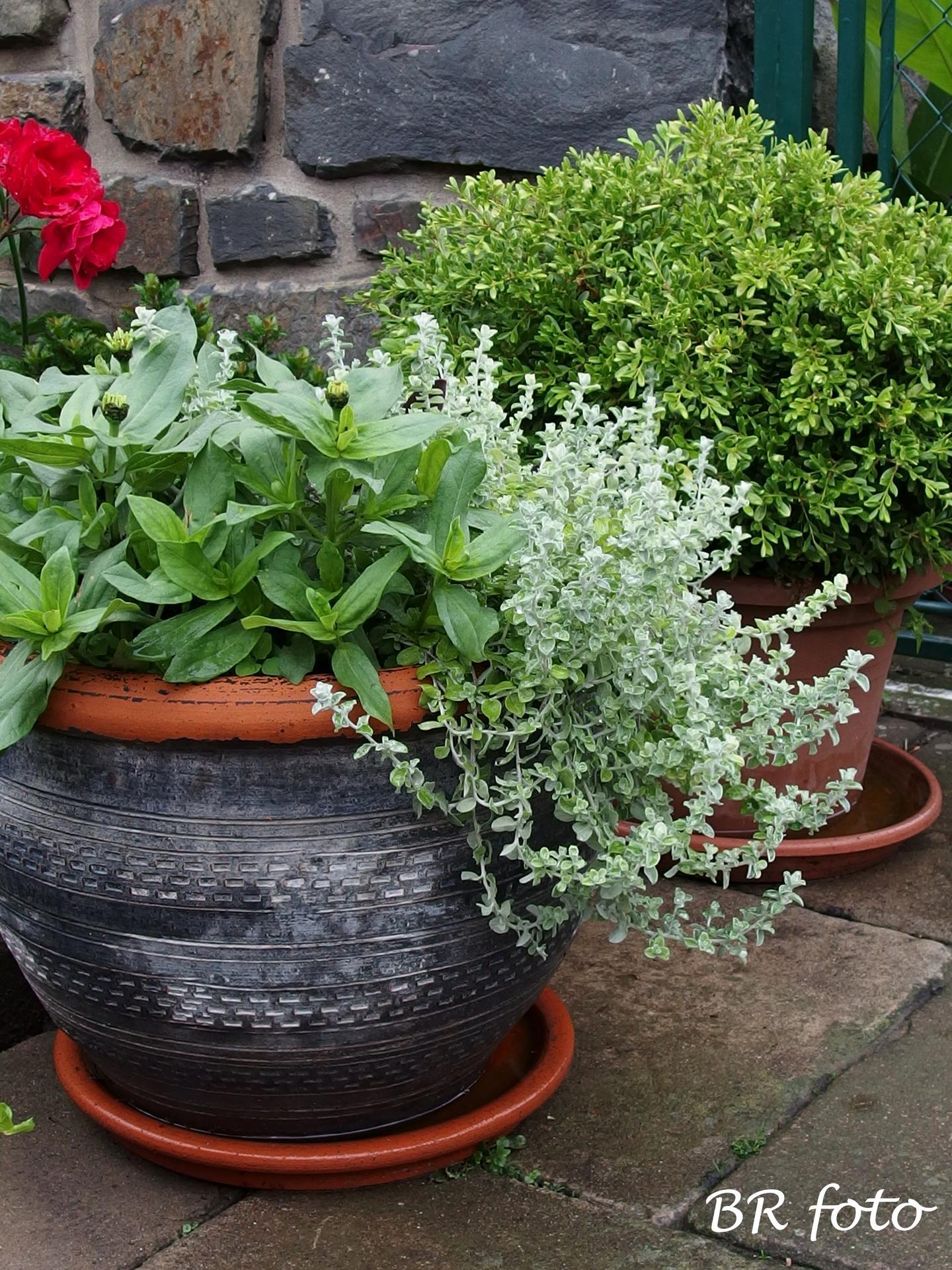 Zahrada v červnu - vše roste a kvete jako o život.... - smil /helichrysum/ a nízká cínie