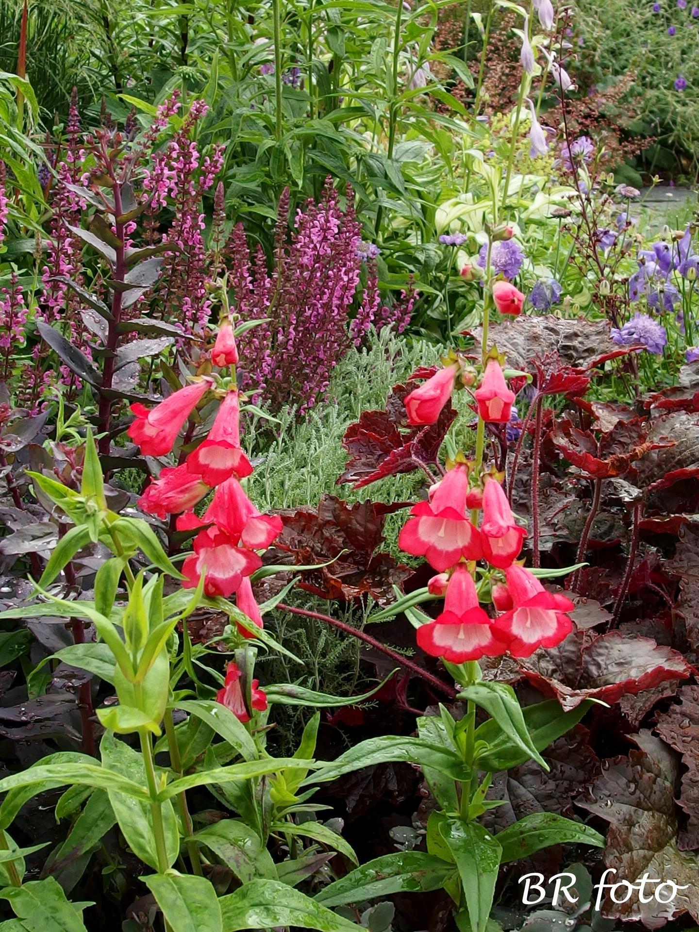 Zahrada v červnu - vše roste a kvete jako o život.... - červený dračík