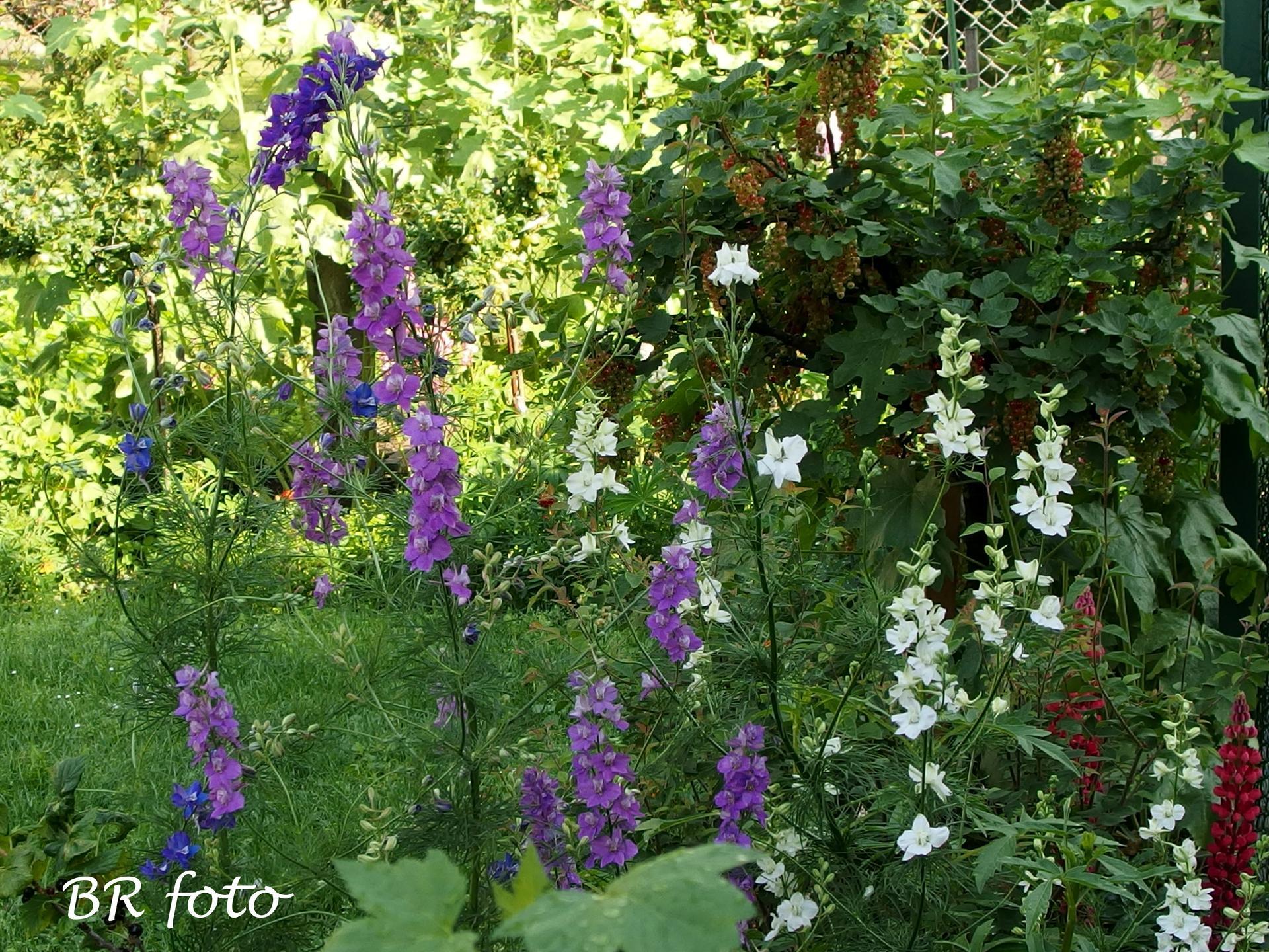 Zahrada v červnu - vše roste a kvete jako o život.... - jednoletá ostrožka stračka ze samovýsevu