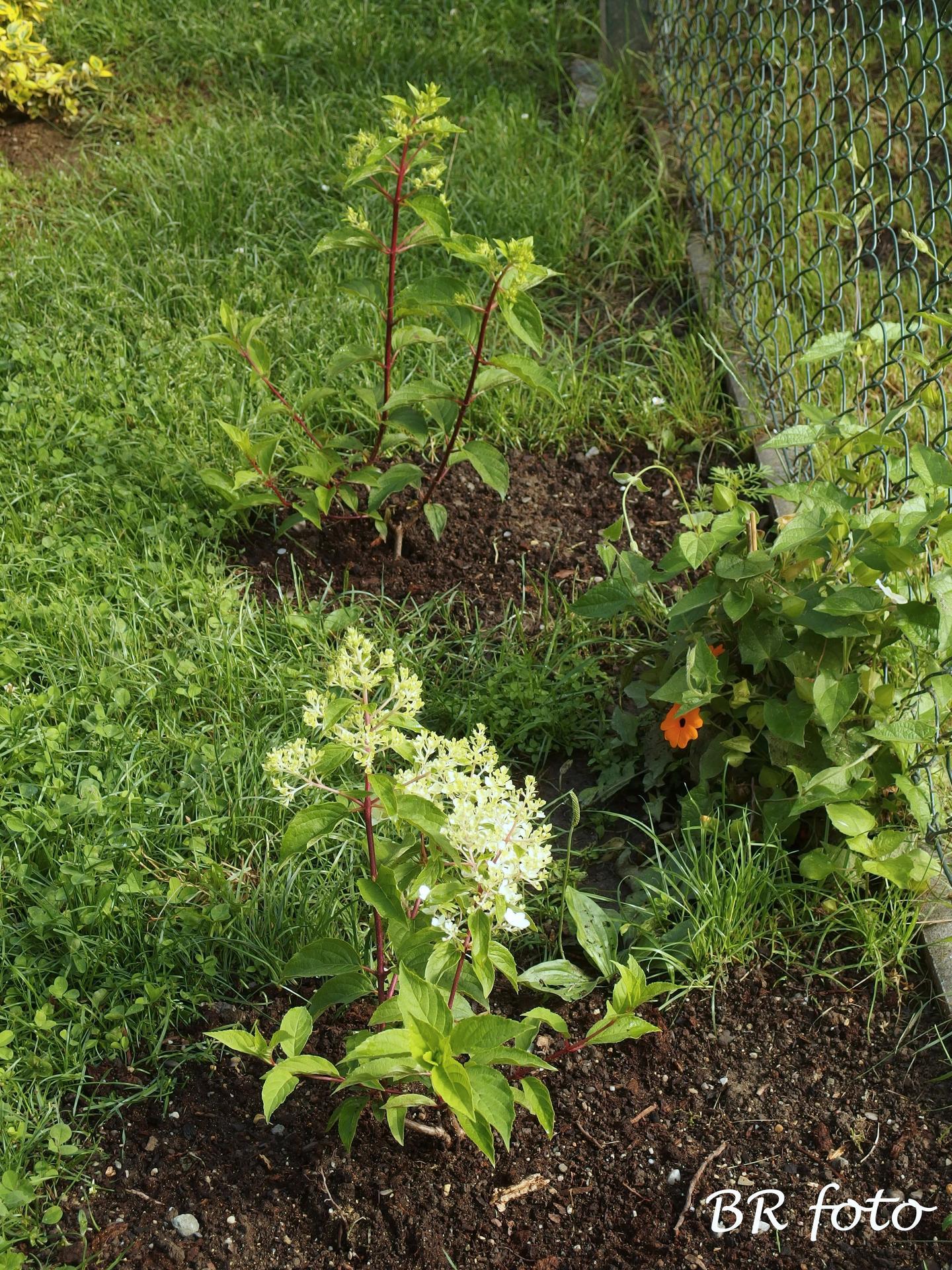 Zahrada v červnu - vše roste a kvete jako o život.... - nově vysazené hortenzie latnaté