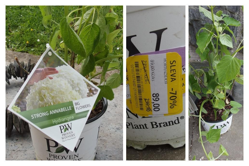 Zahrada v létě - hortenzie z výprodeje v Tescu, koupená vloni