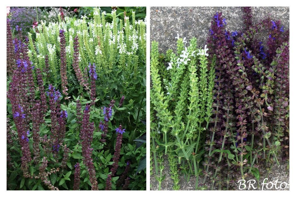 Zahrada v létě - ostříhané šalvěje