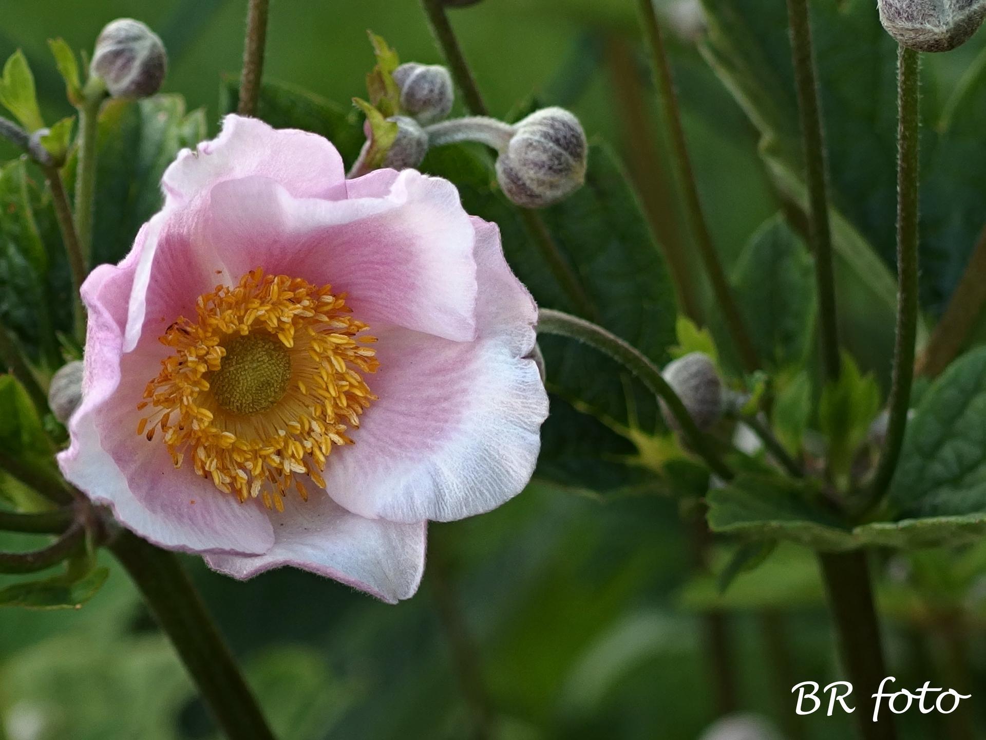 Zahrada v létě - začínají kvést japonské sasanky