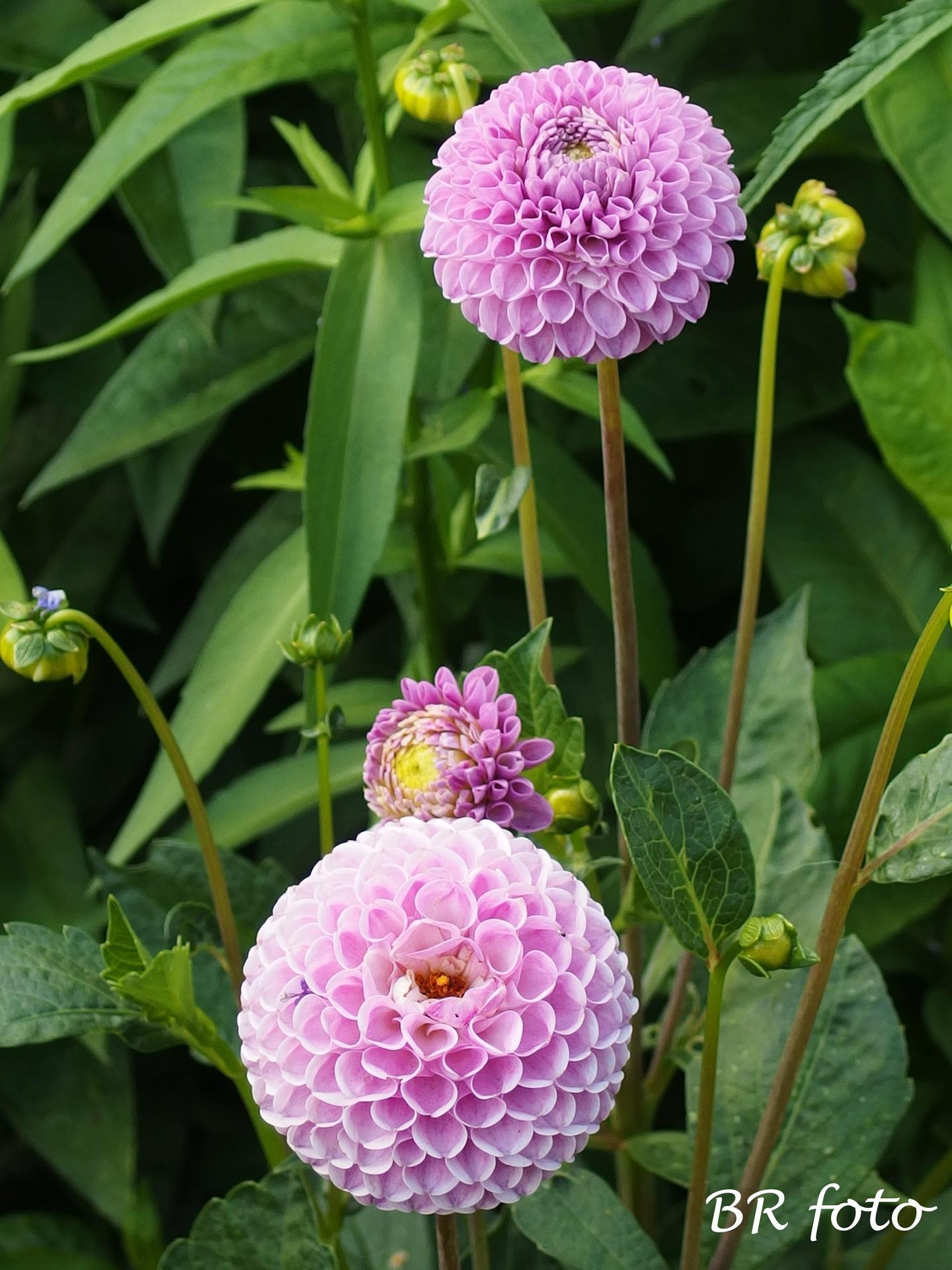 Zahrada v létě - jiřinka pomponka