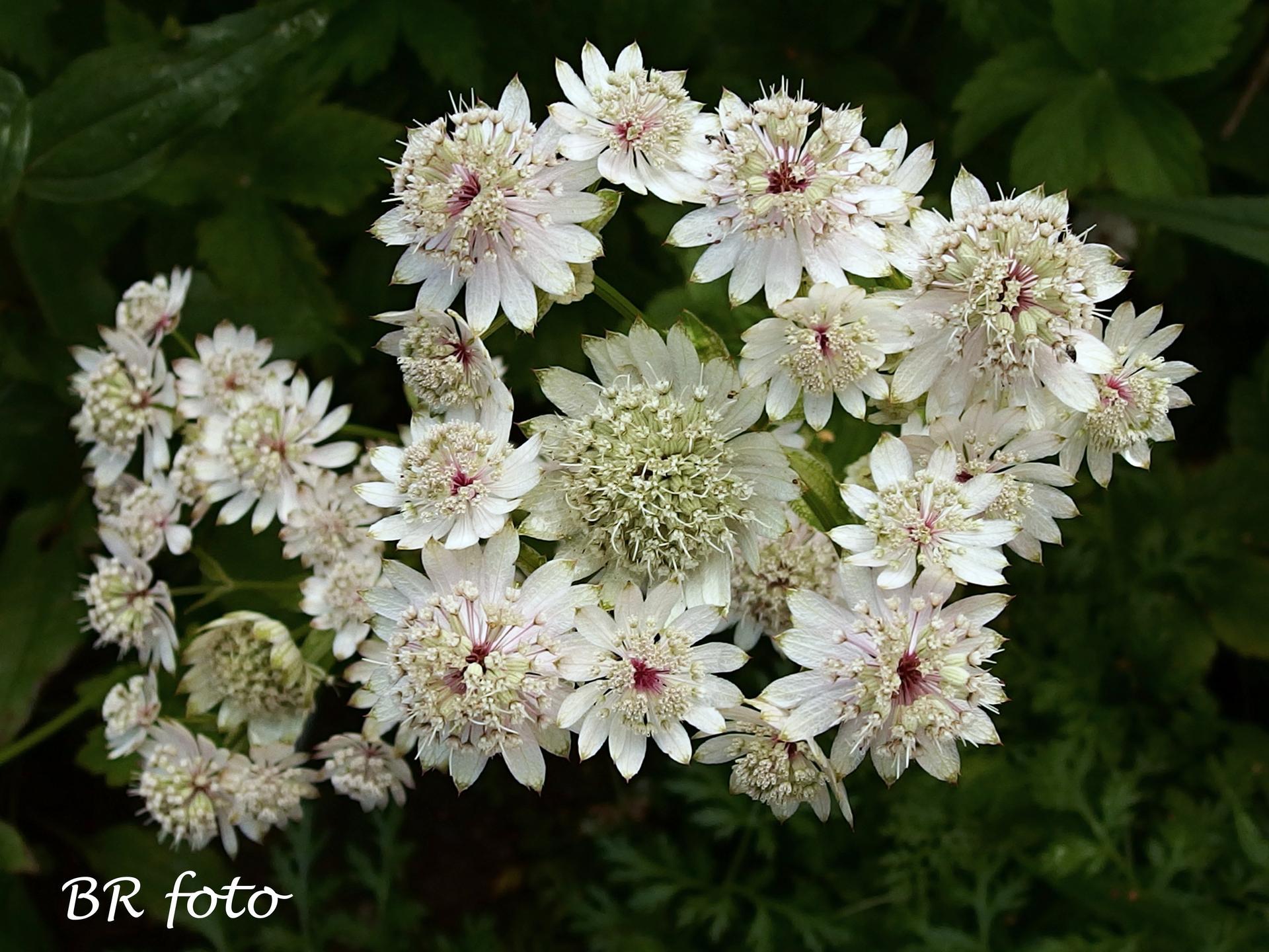 Zahrada v létě - já tu jarmanku miluju, tahle světlá dobře roste a víc vynikne než růžová