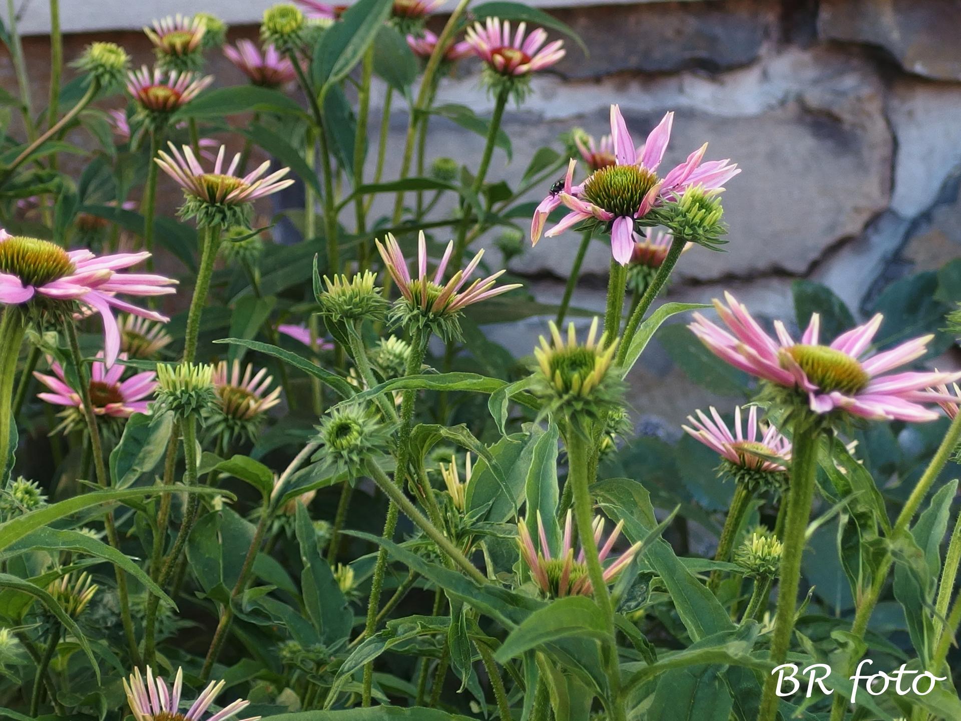 Zahrada v létě - echinacea bohatě pokvete