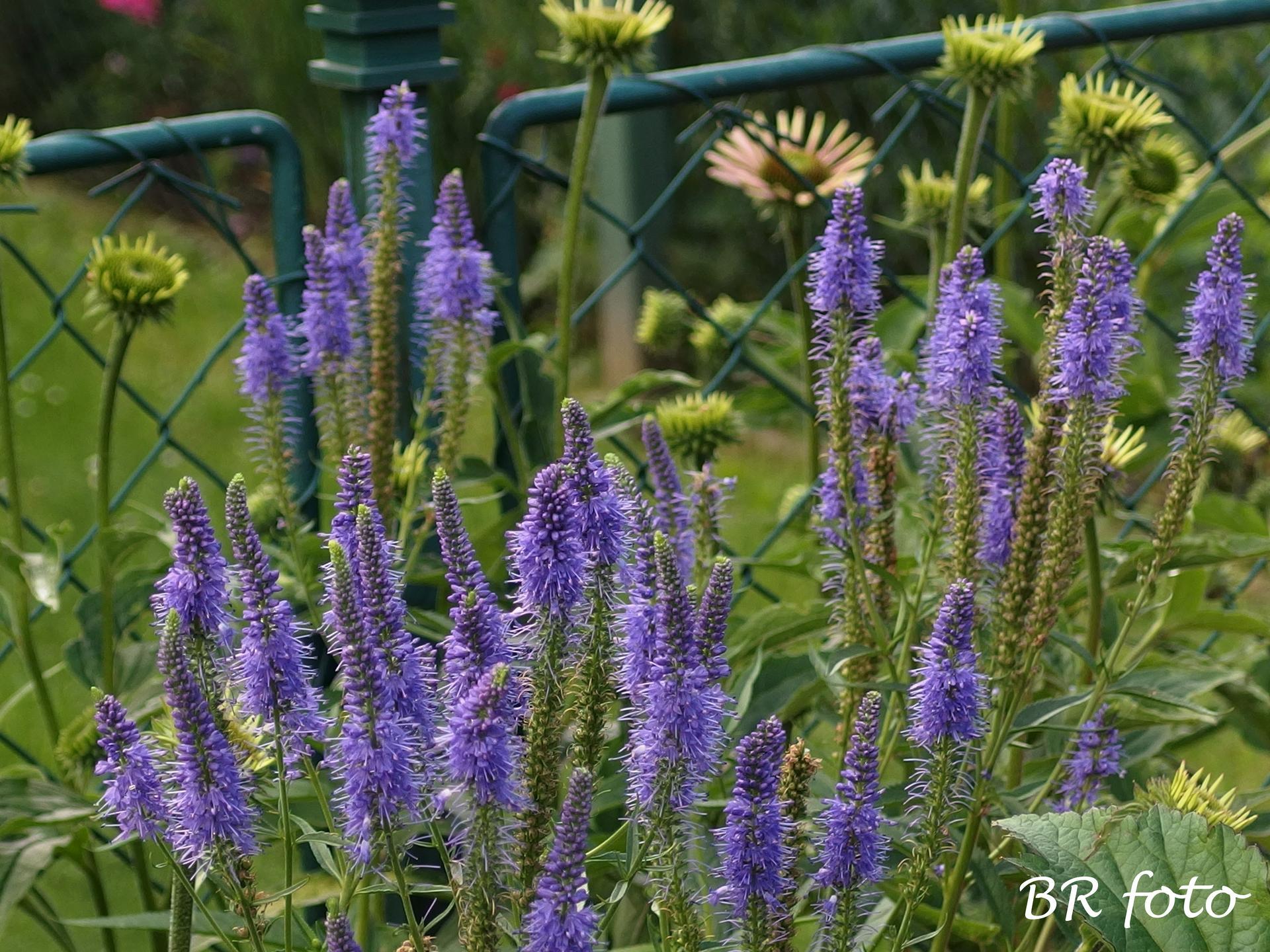 Zahrada v létě - rozrazil, taky bude brzo třeba ostříhat