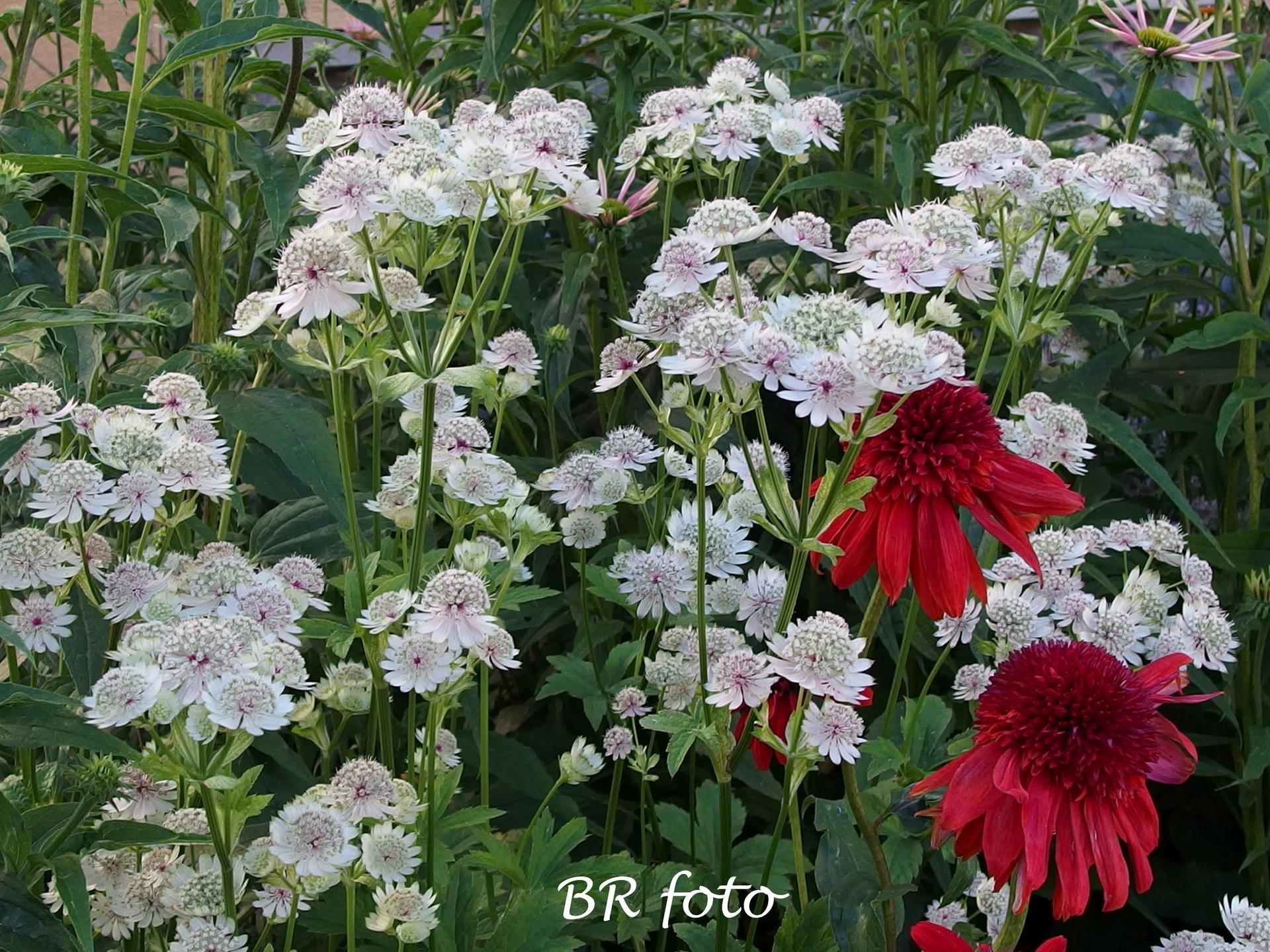 Zahrada v létě - jarmanka plnokvětá echinacea