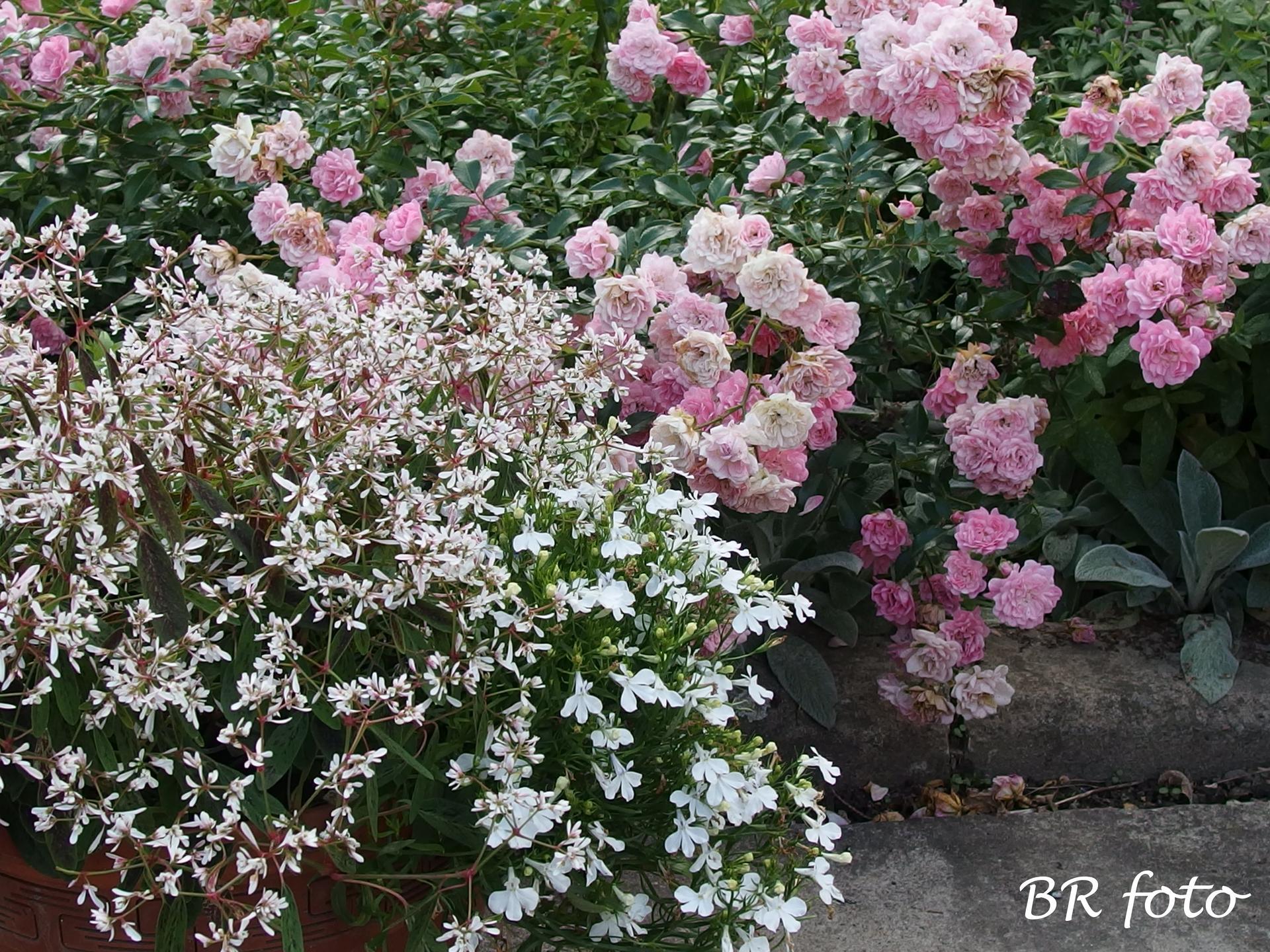 Zahrada v létě - The Fairy, bílá lobelka a pryšec třezalkovitý