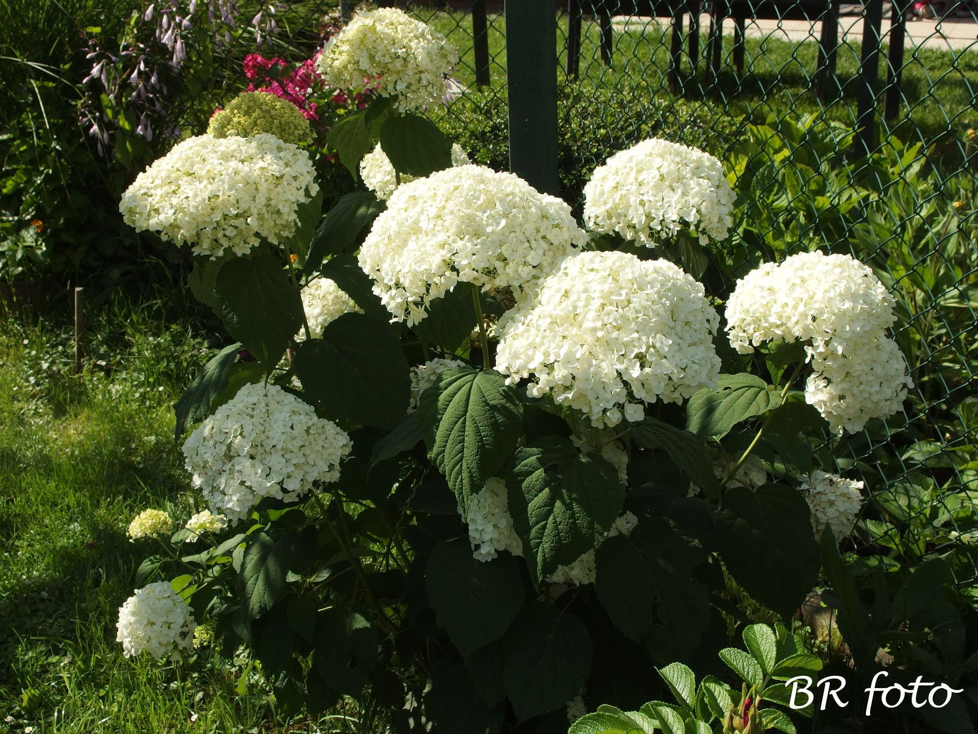 Zahrada v létě - ....a letos je nádherná, květy obří