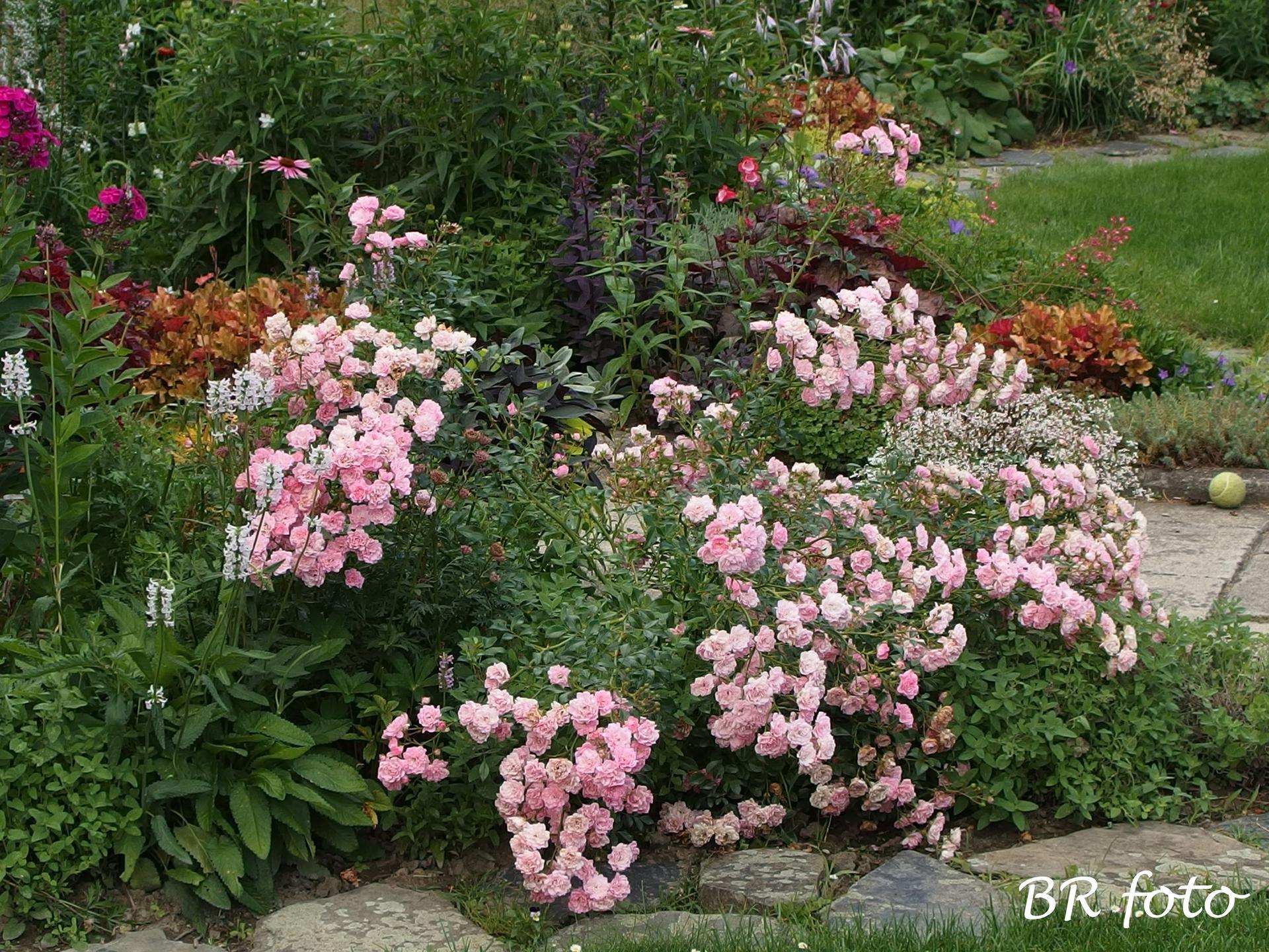 Zahrada v létě - i růže The Fairy rozkleslá deštěm