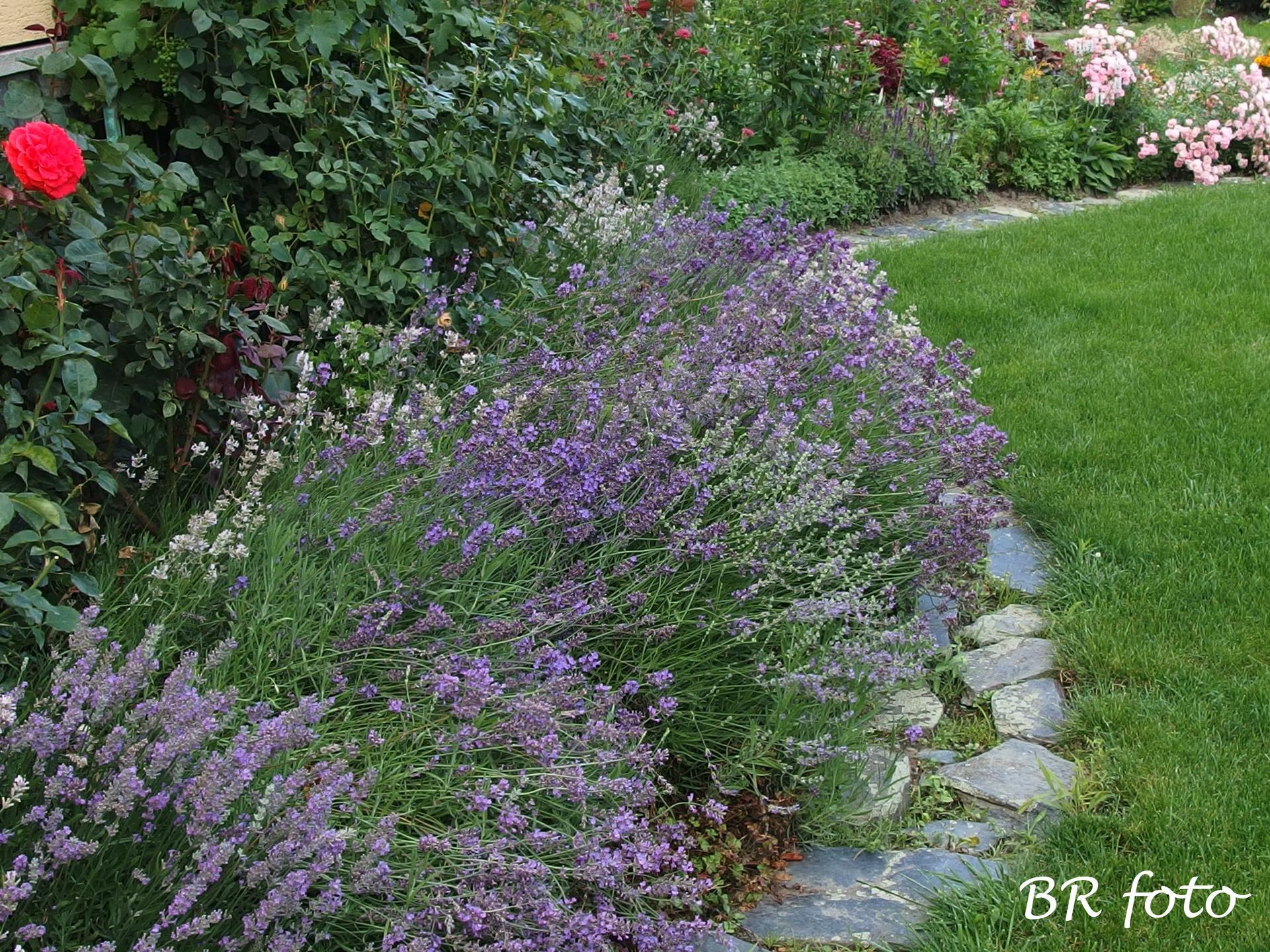 Zahrada v létě - levandule polehlá deštěm