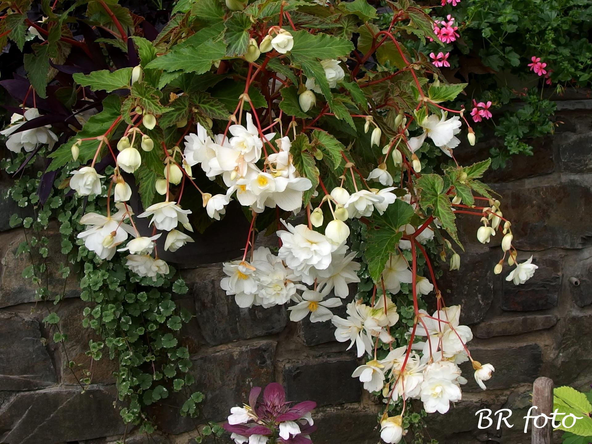 Zahrada v létě - begonie od loňska a dělá velkou radost