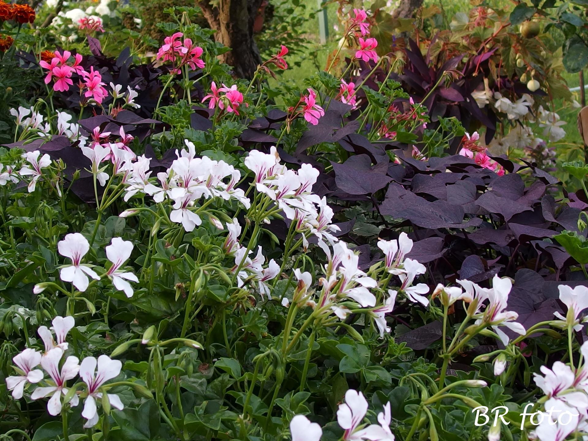 Zahrada v létě - polopřevislý muškát a tmavé listy povíjnice batátové