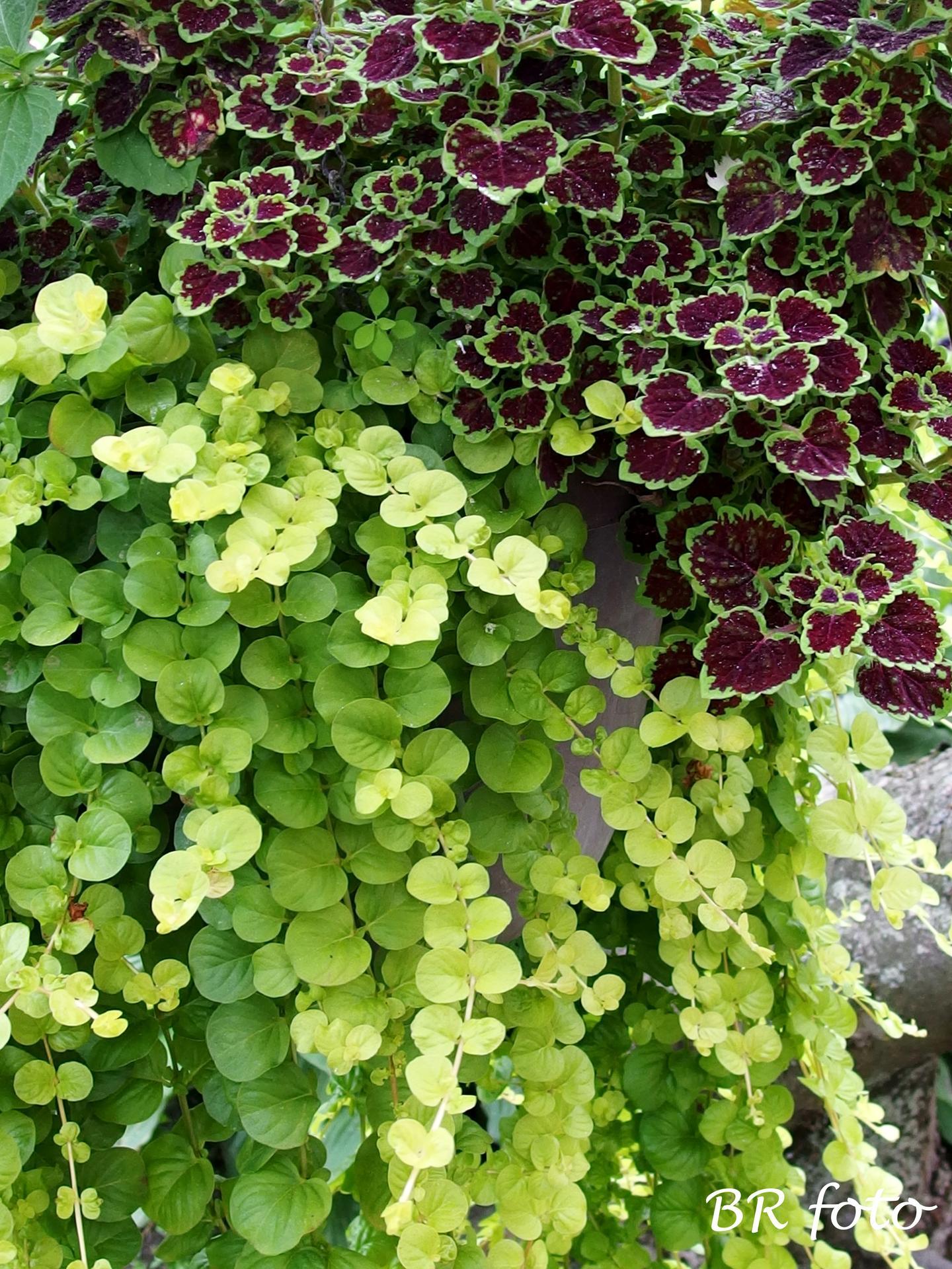 Zahrada v létě - koleus a vrbina penízková v detailu, správná dvojka, ne?