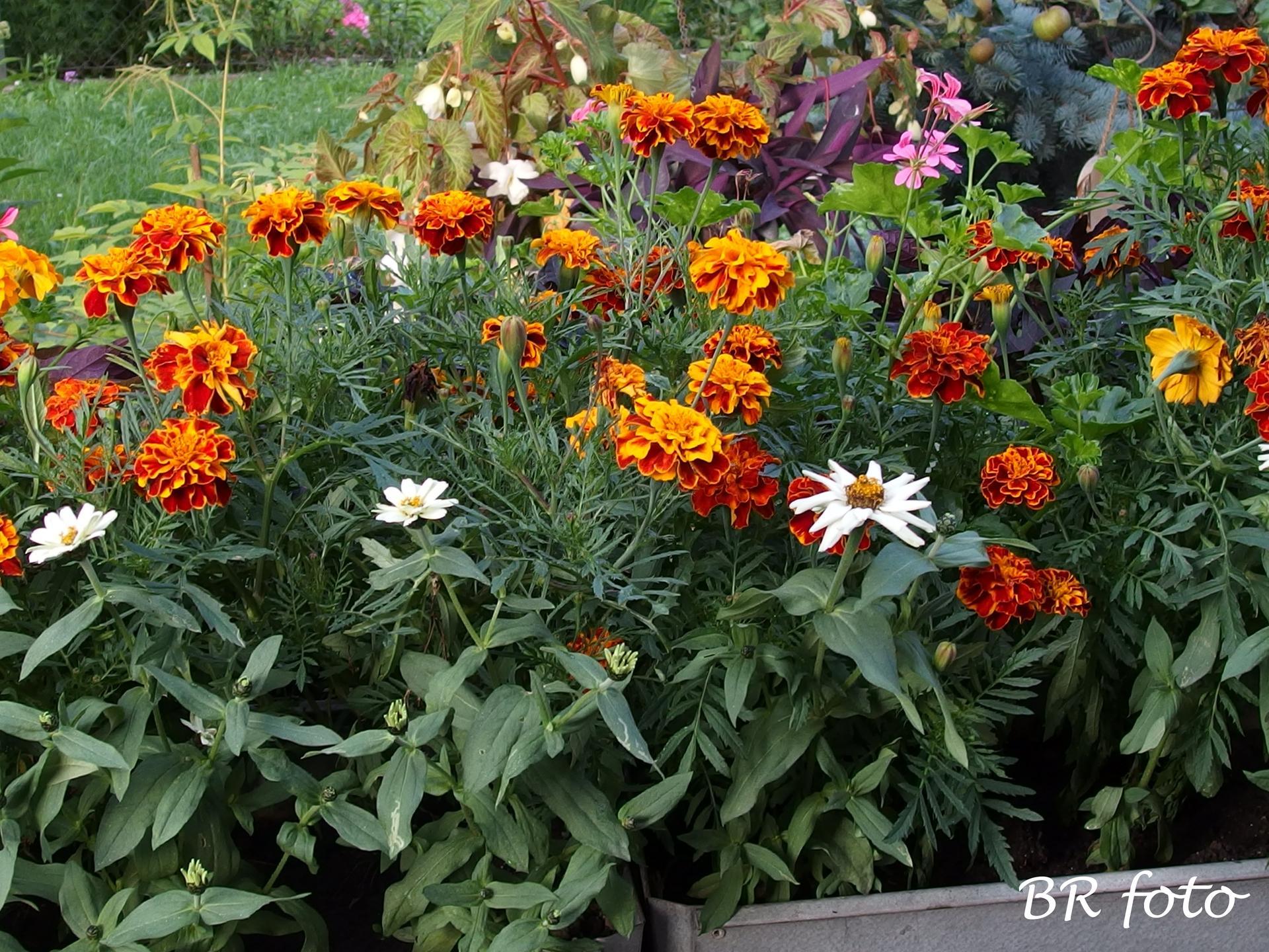 Zahrada v létě - do truhlíku jsem vysadila i afrikány a nízkou cínii, sama jsem si vypěstovala