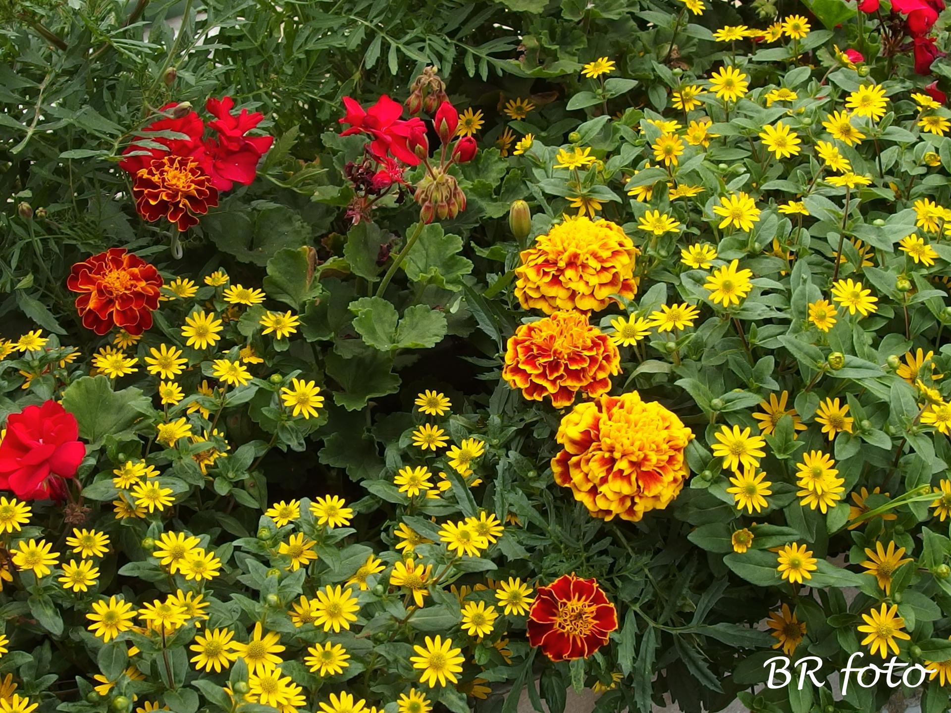 Zahrada v létě - sanvitálka krásně prospívá, vzpřímené muškáty jsou v těch deštích chudáci