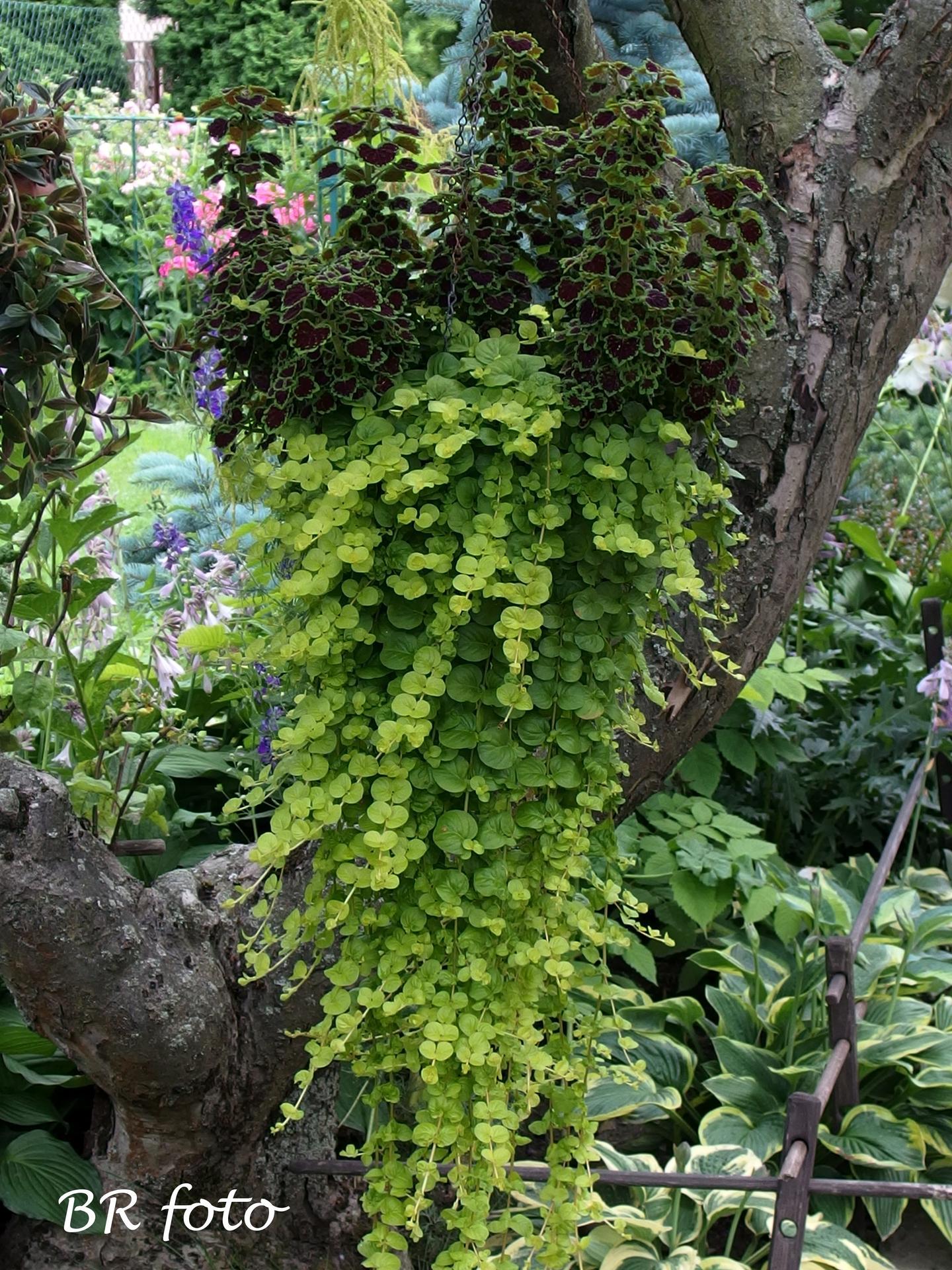 Zahrada v létě - koleus a vrbina penízková
