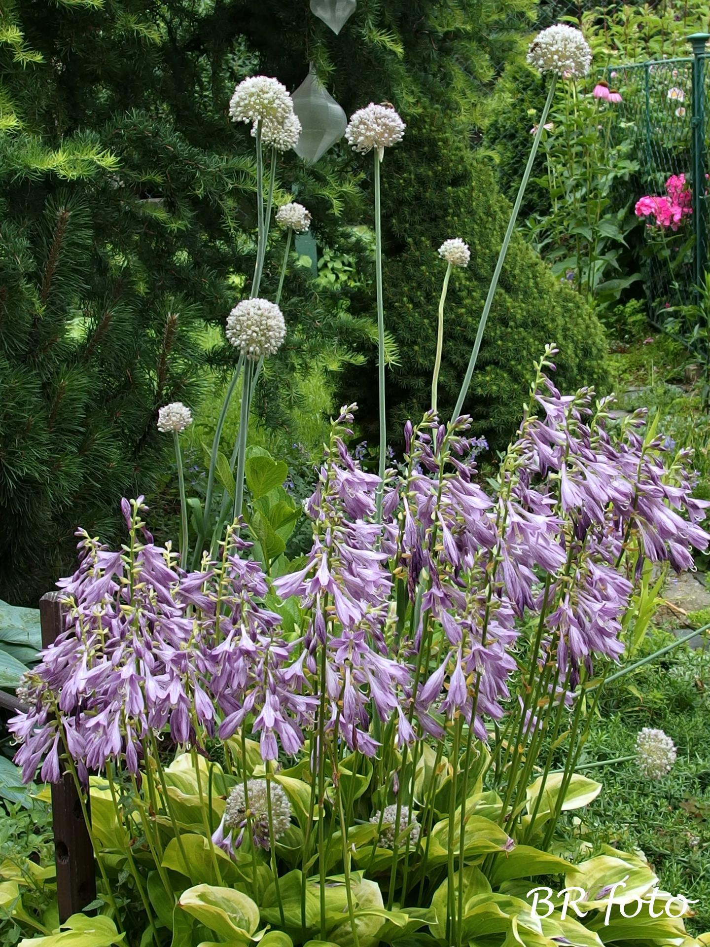 Zahrada v létě - pozdně kvetoucí česnek /allium Ping Pong/a květy hosty