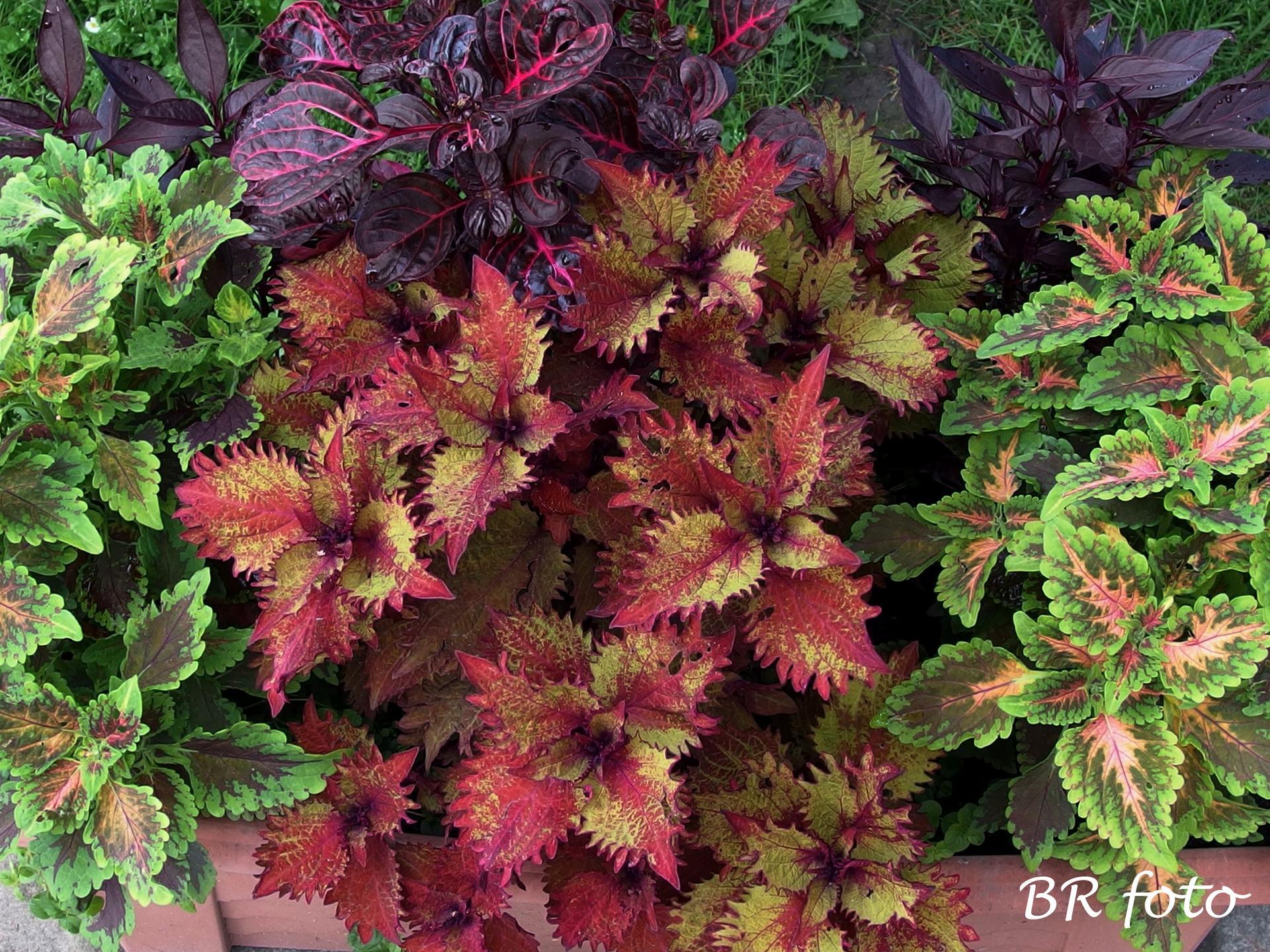 Zahrada v létě - koleus - okrasné kopřivy