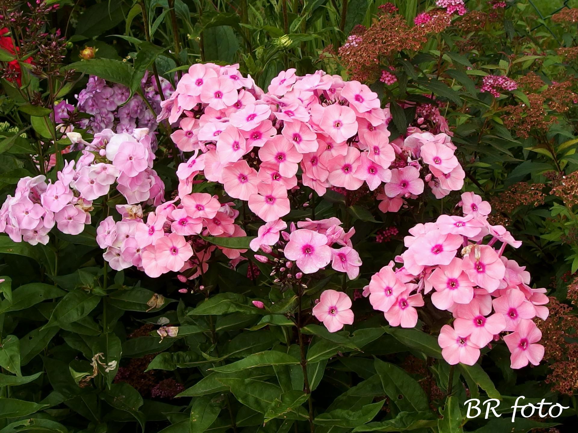 Zahrada v létě - floxy, ani nevím, kolik mám odrůd