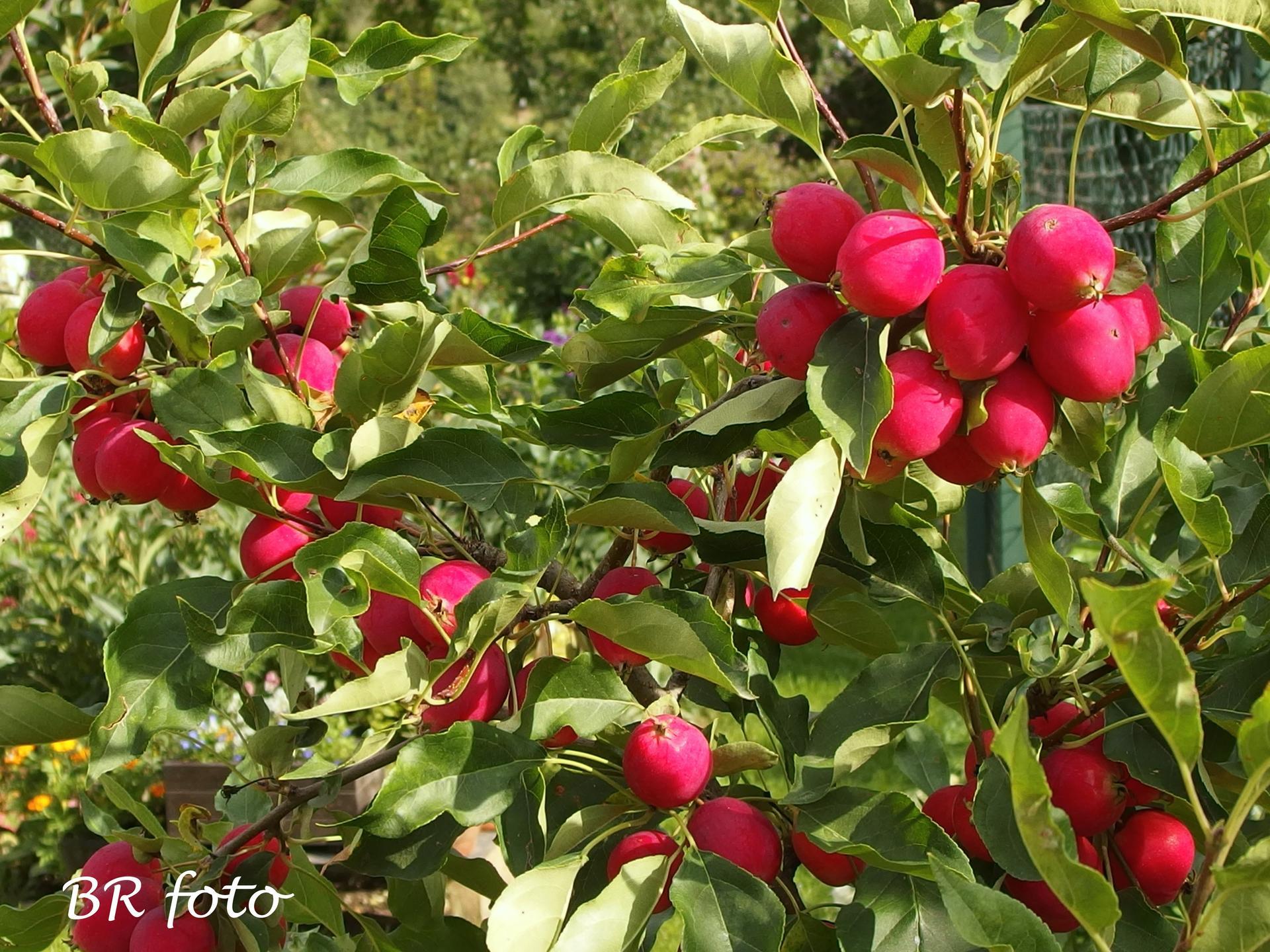 Zahrada v létě - Malus Dolgo, okrasná jablíčka jsou jako malovaná, až kýčovitá.....
