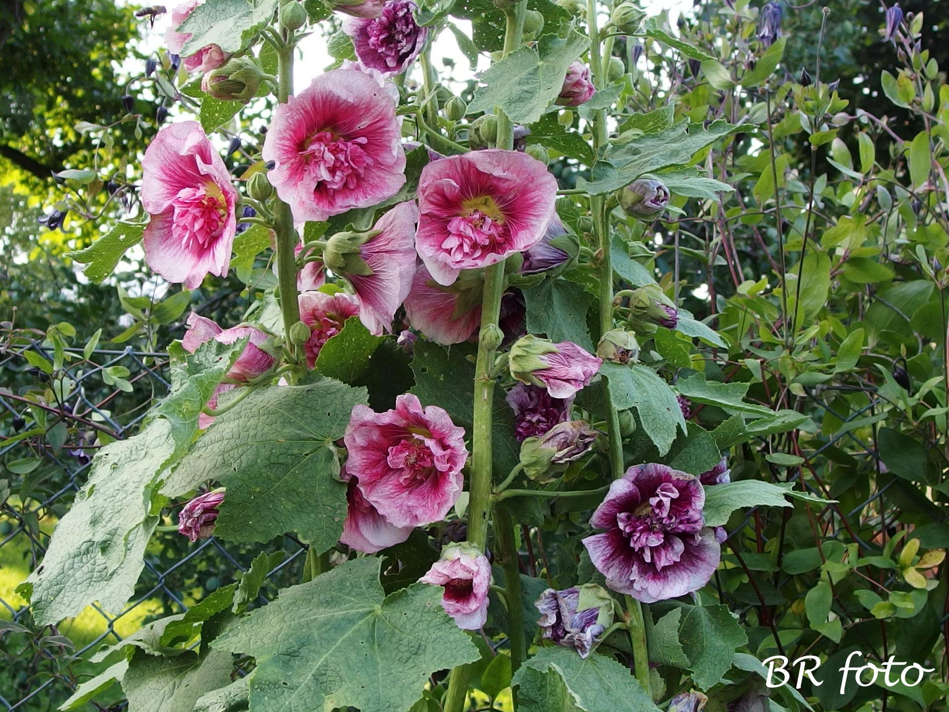 Zahrada v létě - proskurník topolovka nebo také slézová růže