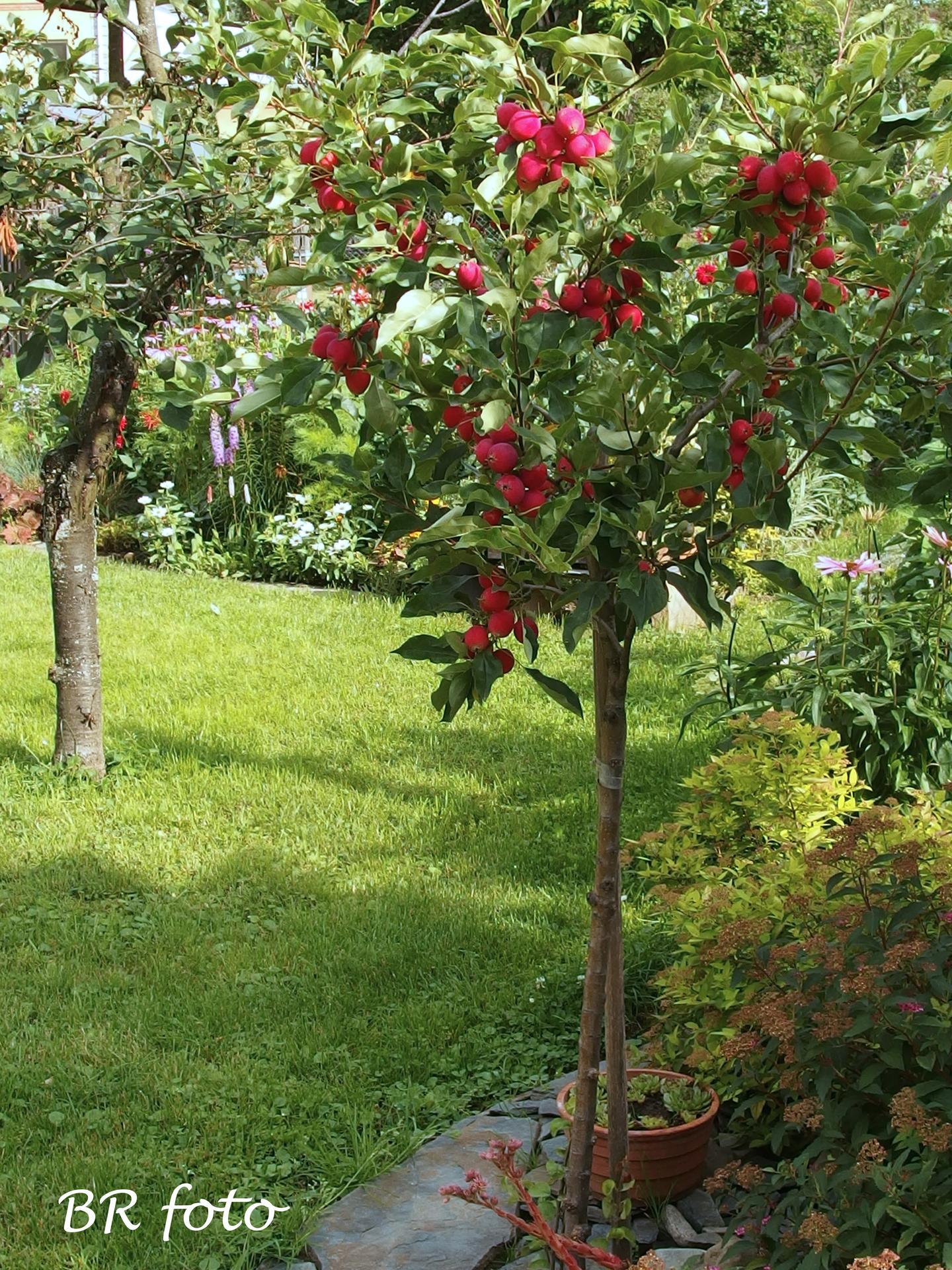 Zahrada v létě - Malus Dolgo