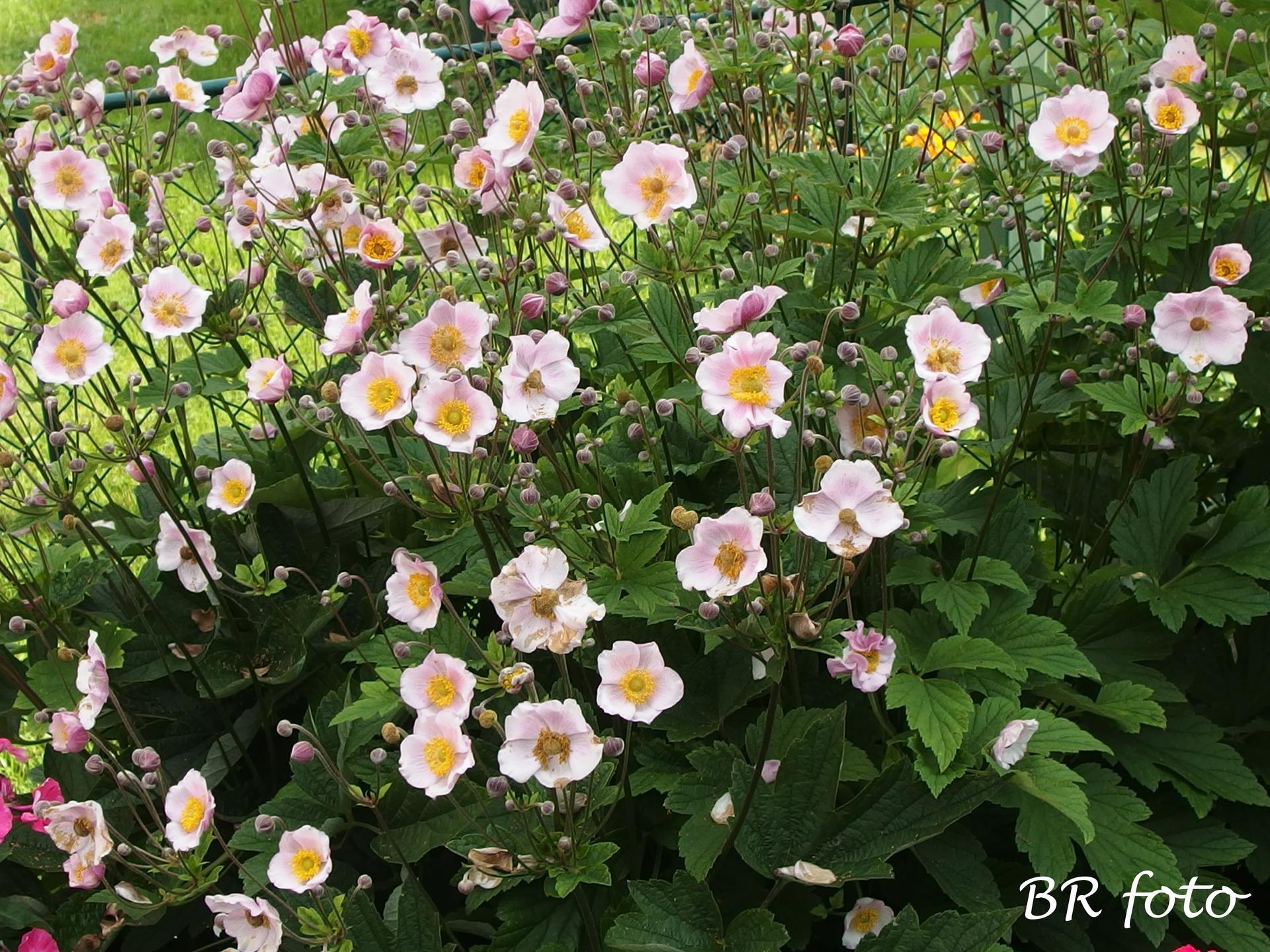 Zahrada v létě - sasanka japonská