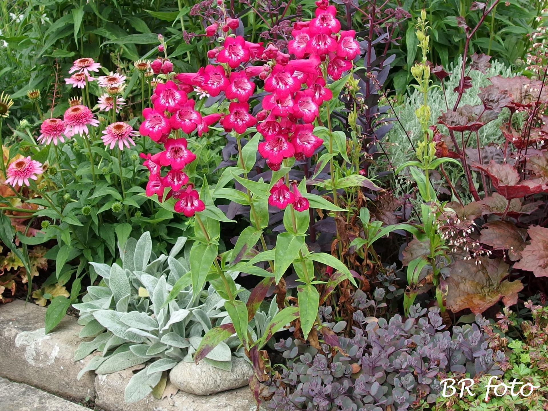 Zahrada v létě - penstemon - dračík