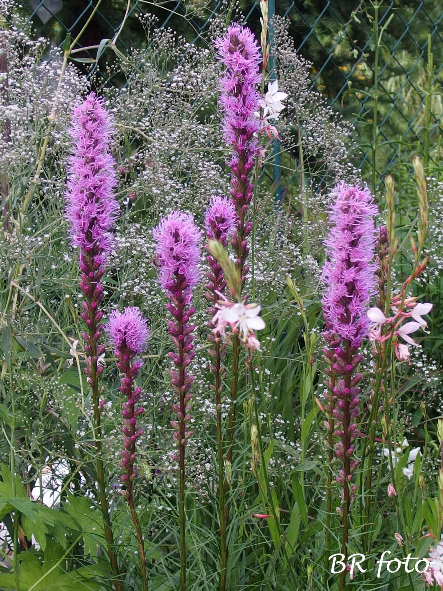 Zahrada v létě - liatris - šuškarda, shorakvět