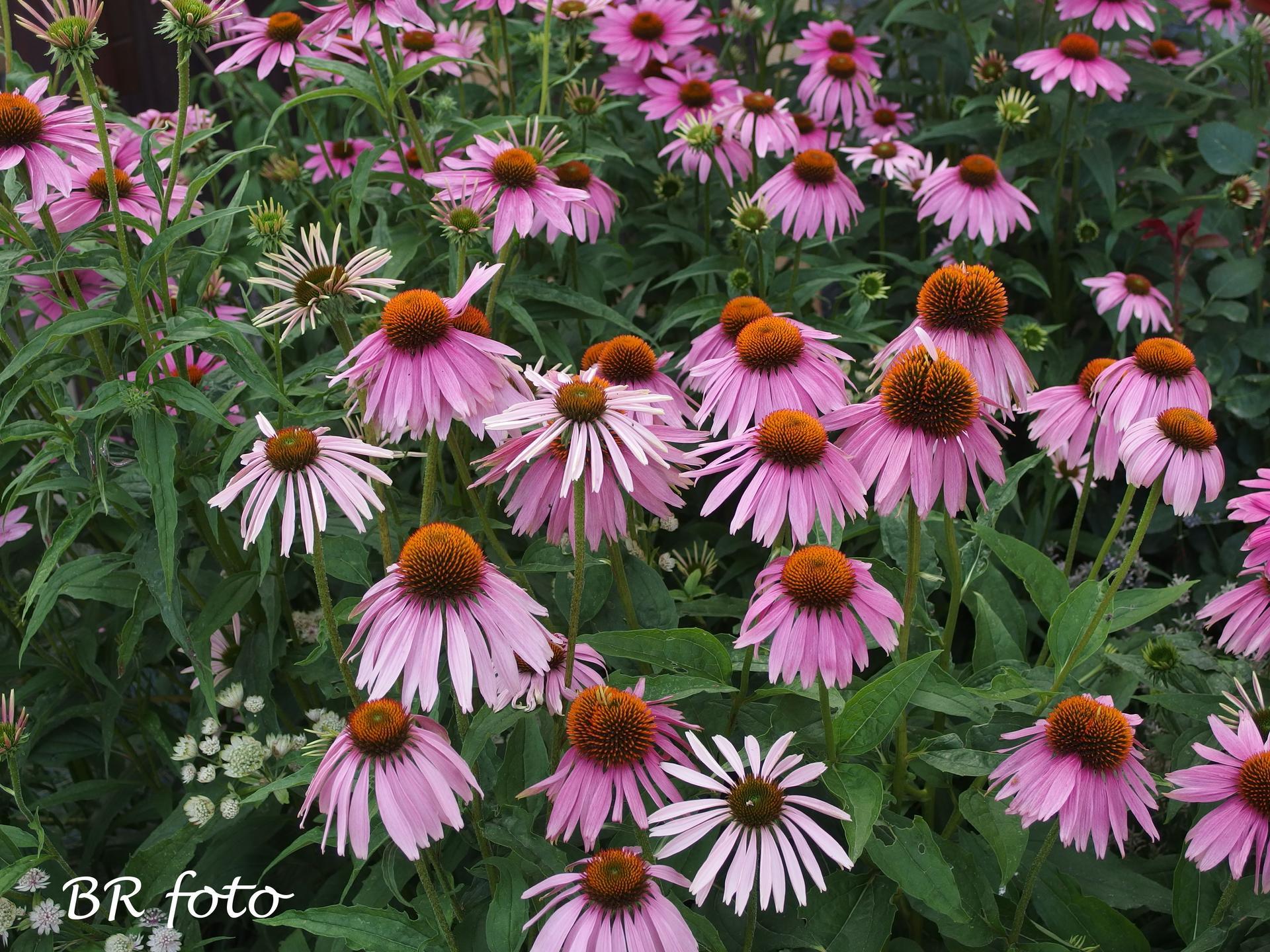 Zahrada v létě - echinacea