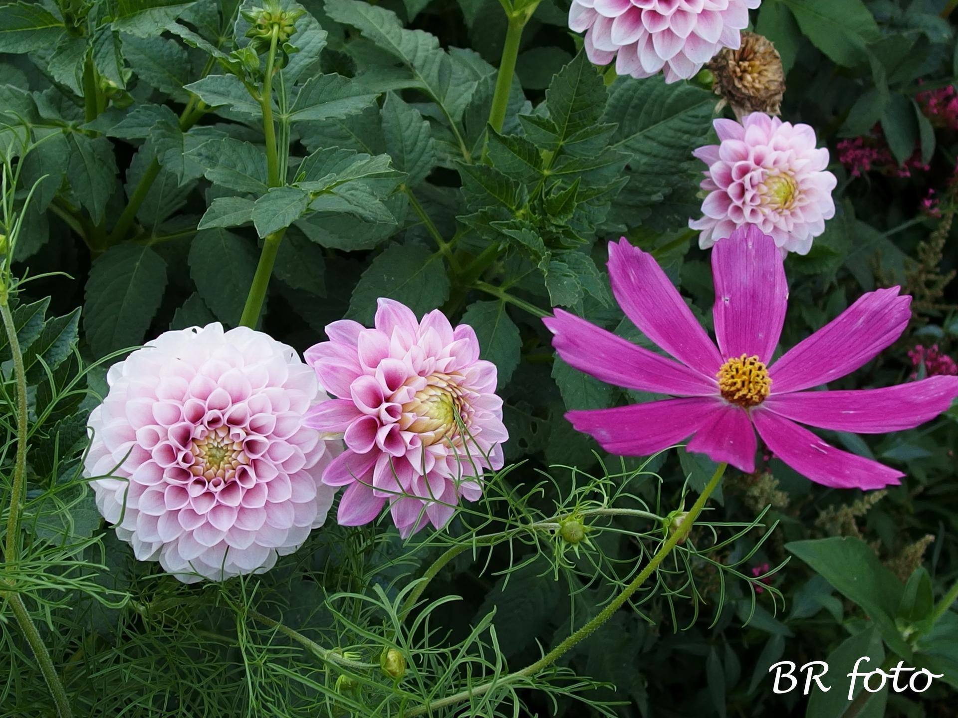 Zahrada v létě - jiřínky a krásenka