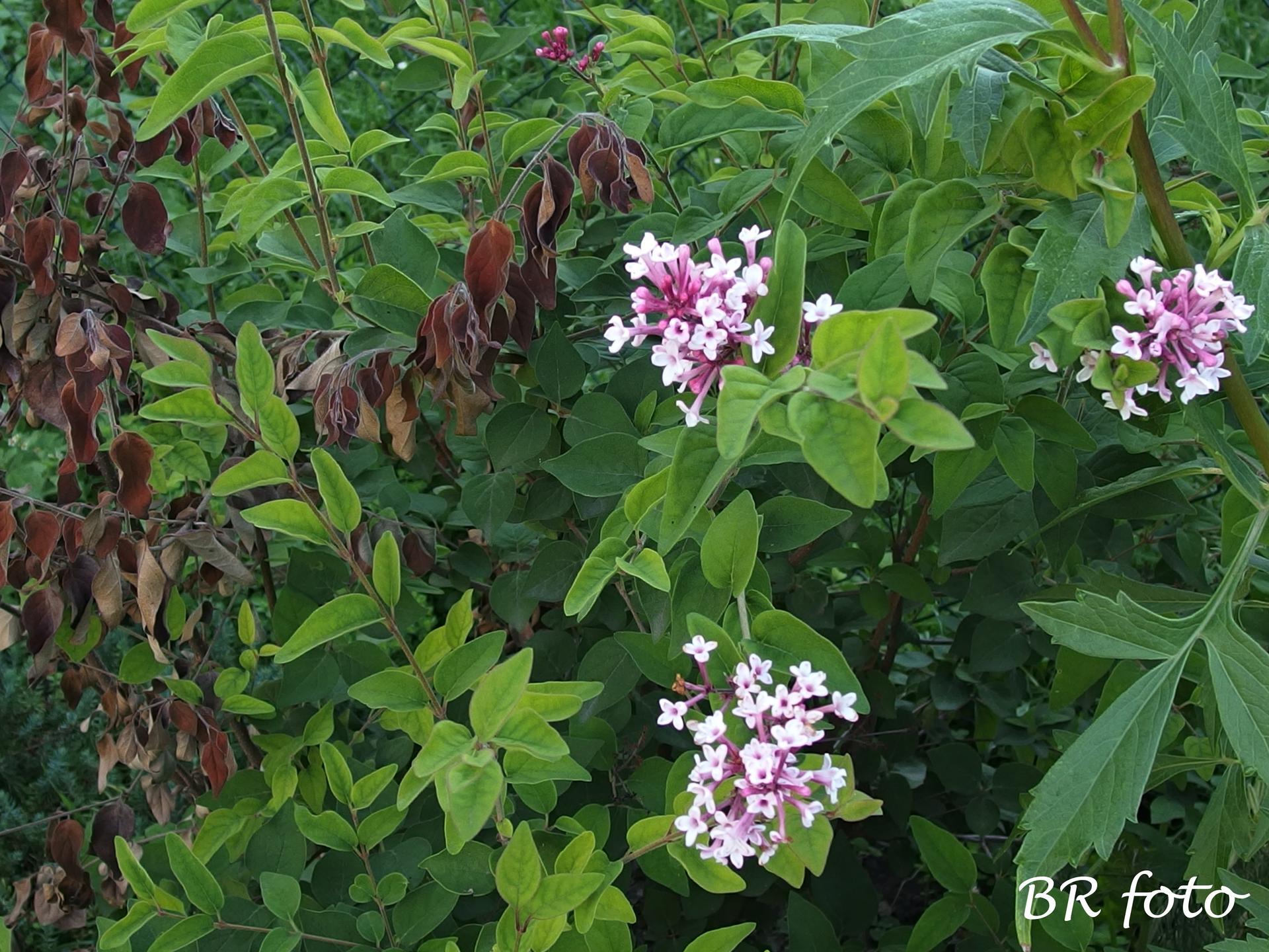 Zahrada v létě - šeřík - část uschla, část vykvetla......