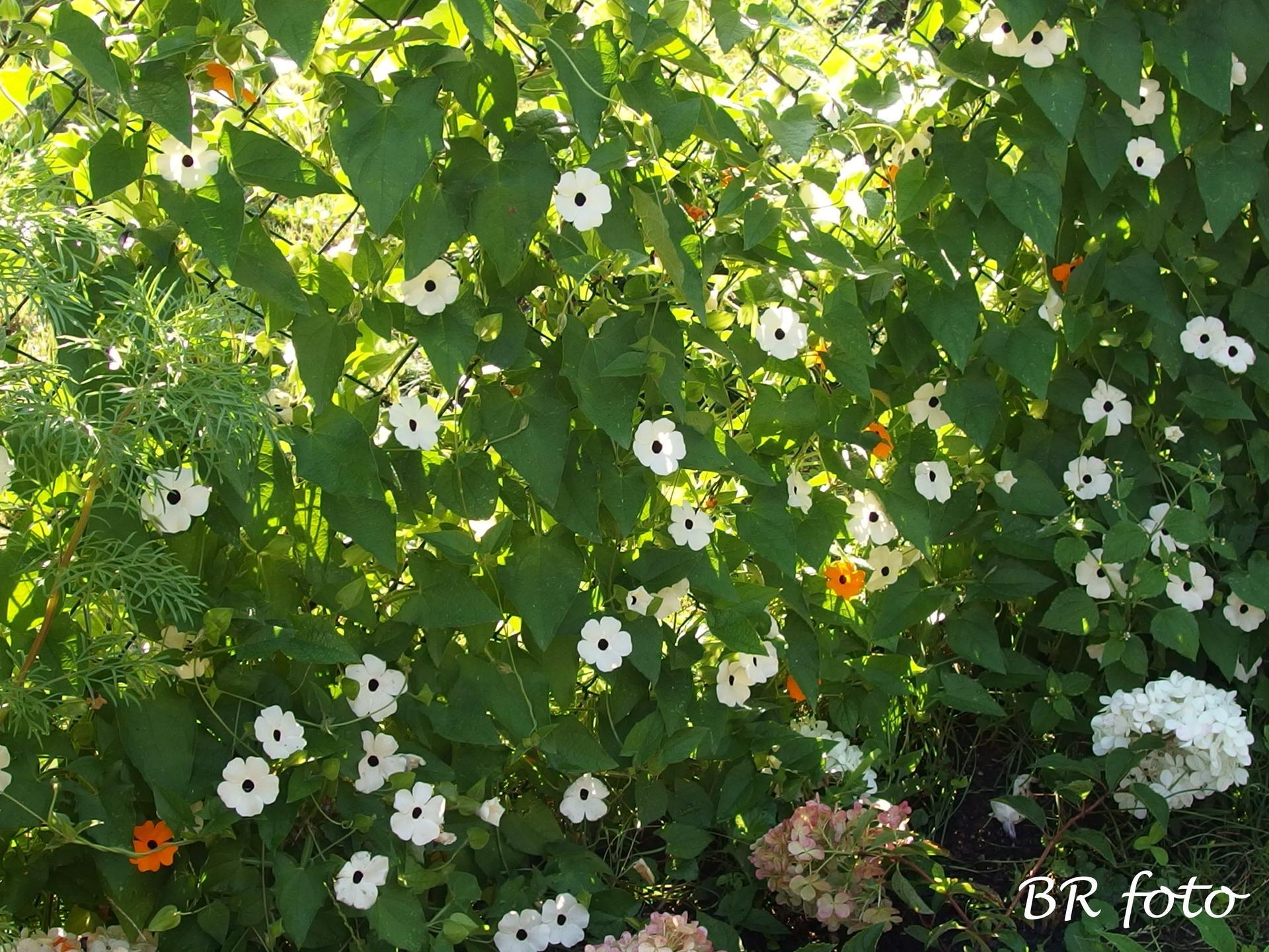 Zahrada v létě - thunbergia alata - černooká Zuzana