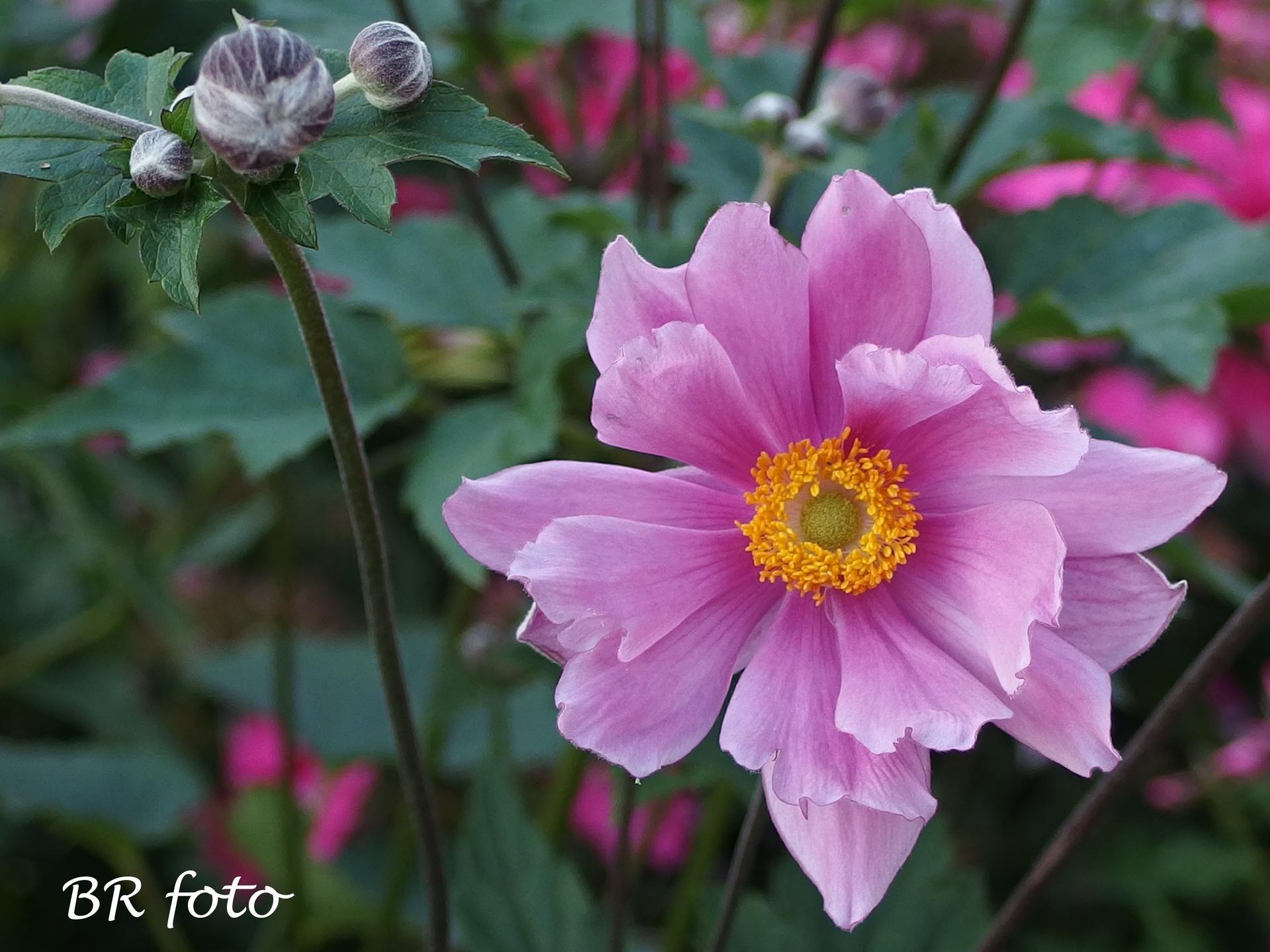 Zahrada v létě - plnokvětý kultivar sasanky japonské má květů méně, ale jsou větší a výraznější