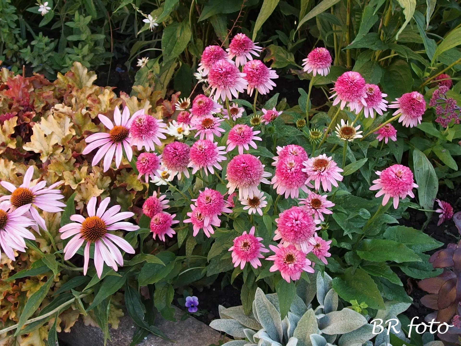 Zahrada v létě - nízká plnokvětá echinacea, daří se jí už několik let