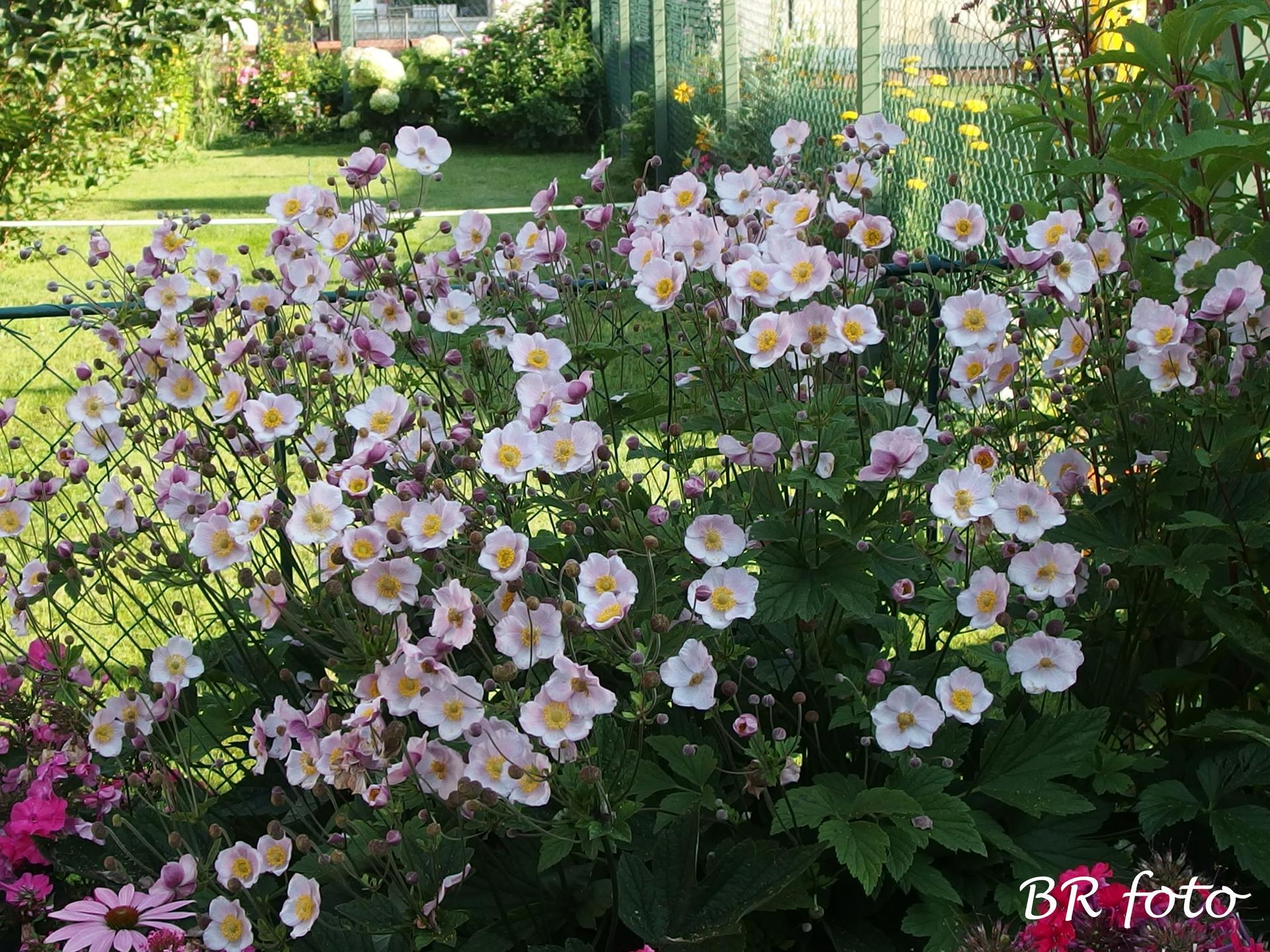 Zahrada v létě - také sasanka japonská bohatě kvete