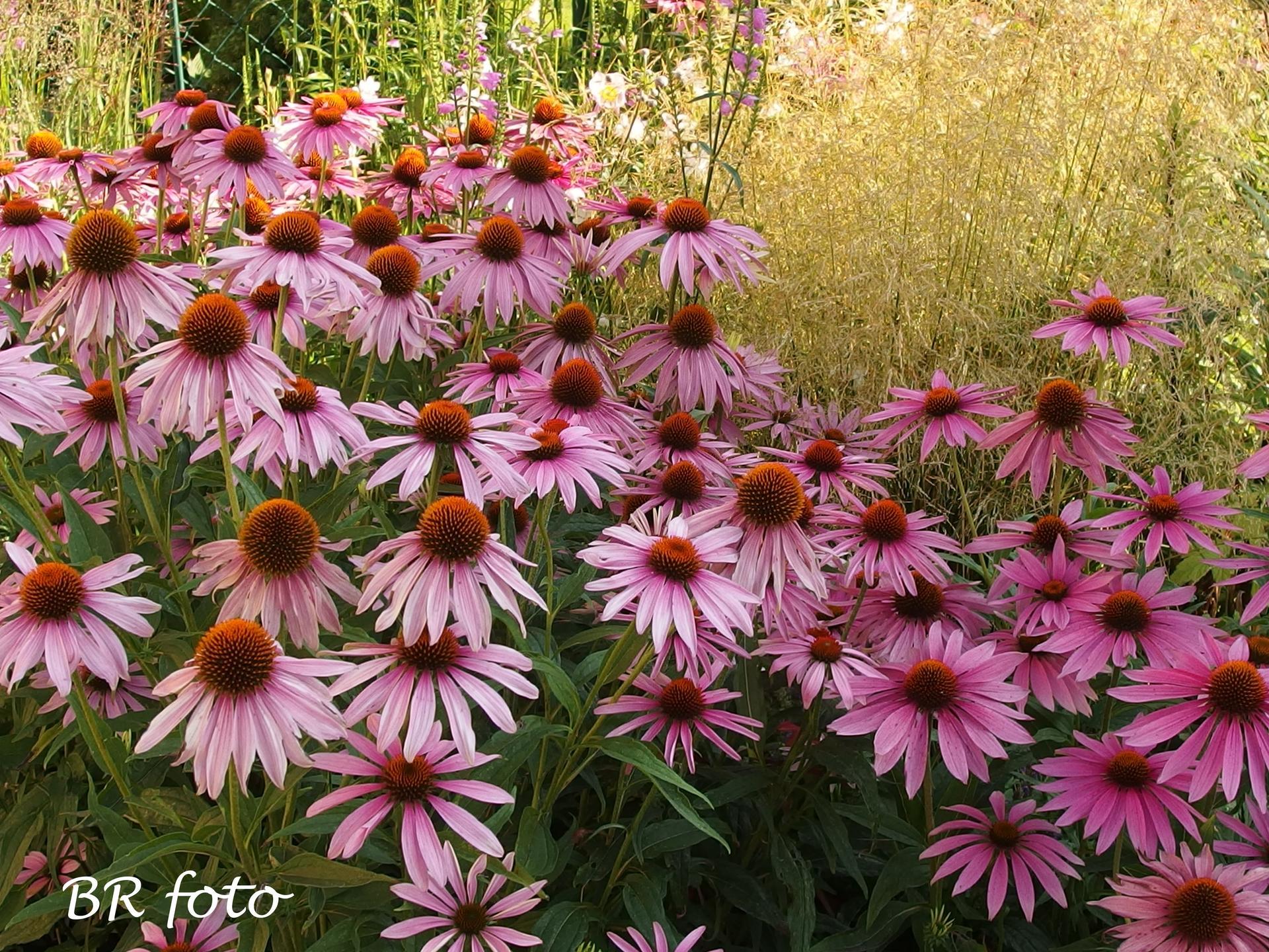 Zahrada v létě - v současnosti dominuje zahradě echinacea