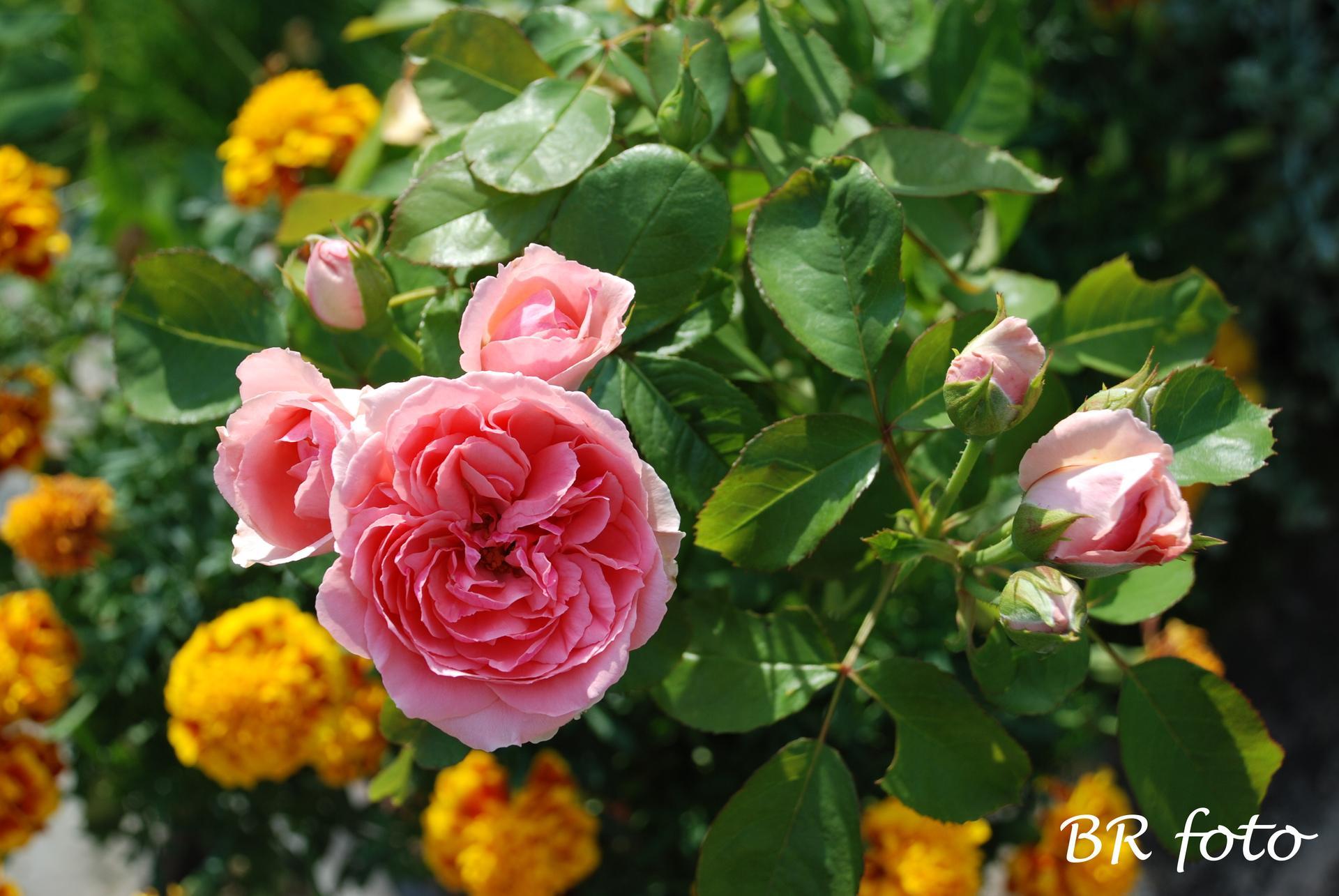 Zahrada v létě - růže Kimono z Tesca