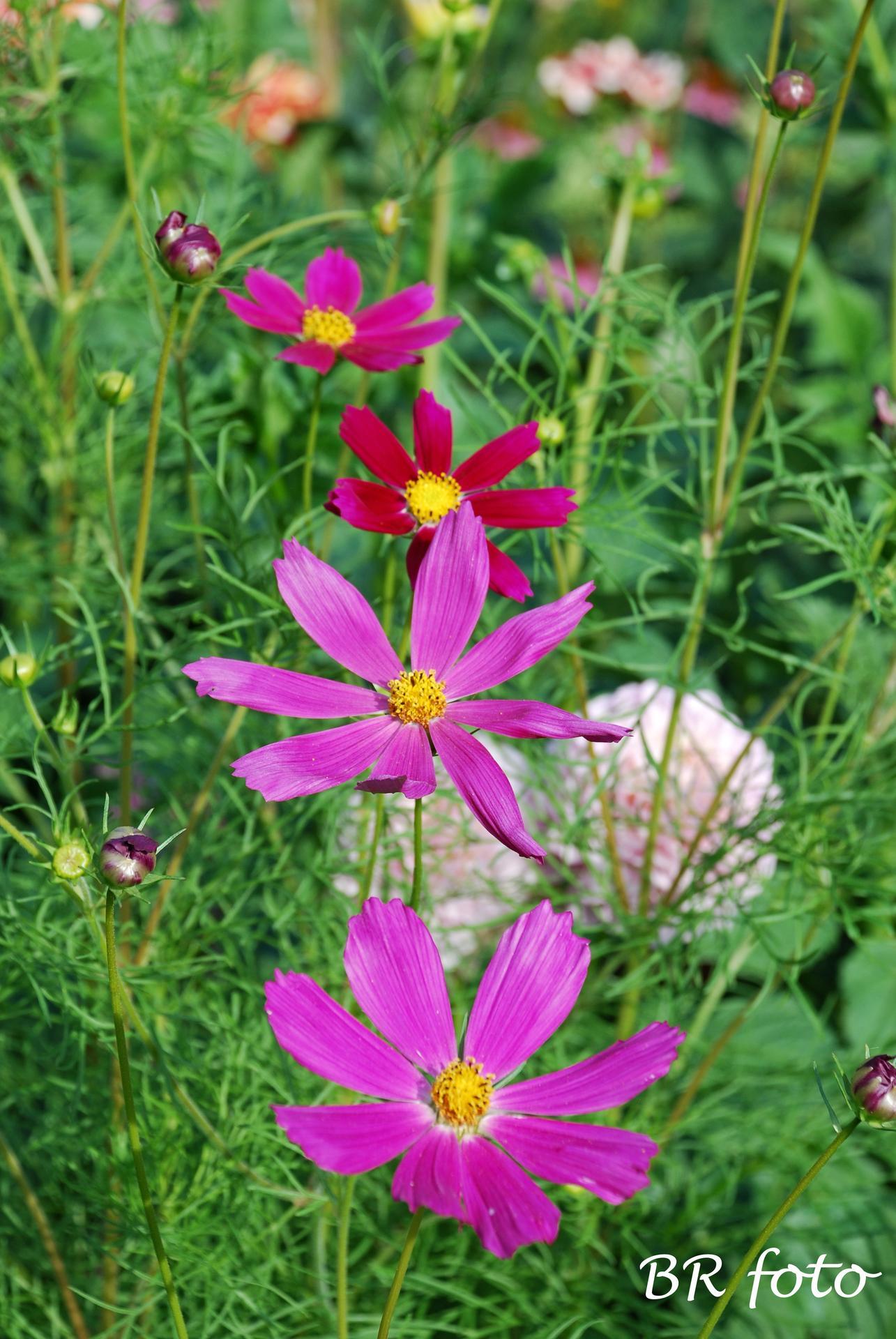 Zahrada v létě - krásenka, kosmos