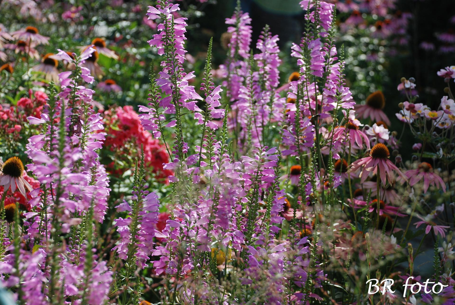 Zahrada v létě - řetězovka viržinská