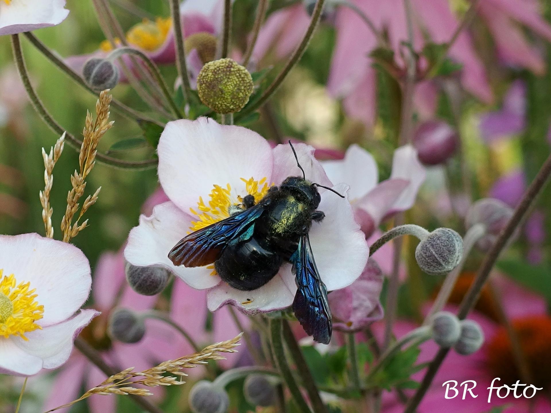Zahrada v létě - naše největší včela samotářka - drvodělka fialová