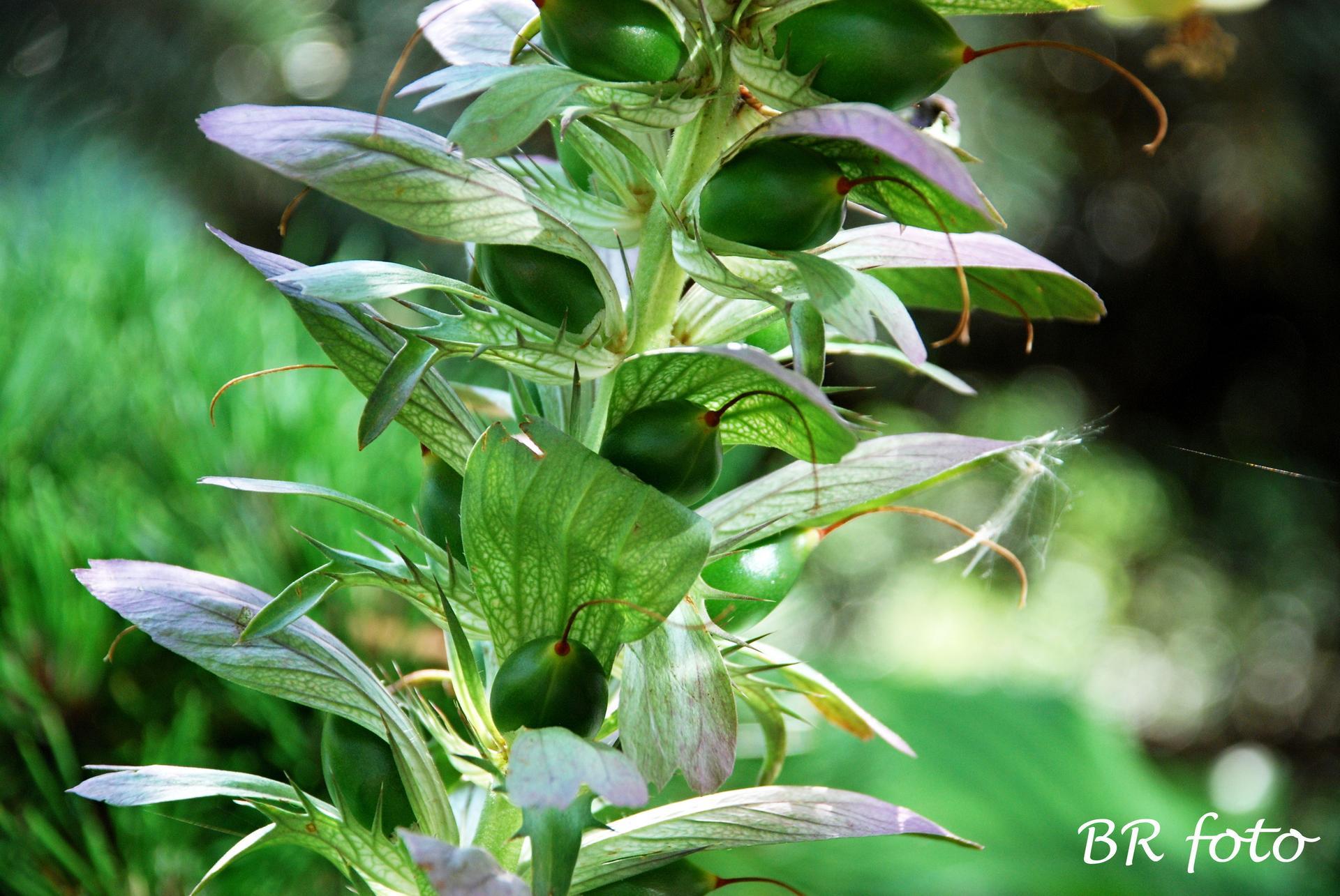 Zahrada v létě - paznehtík začíná tvořit semena