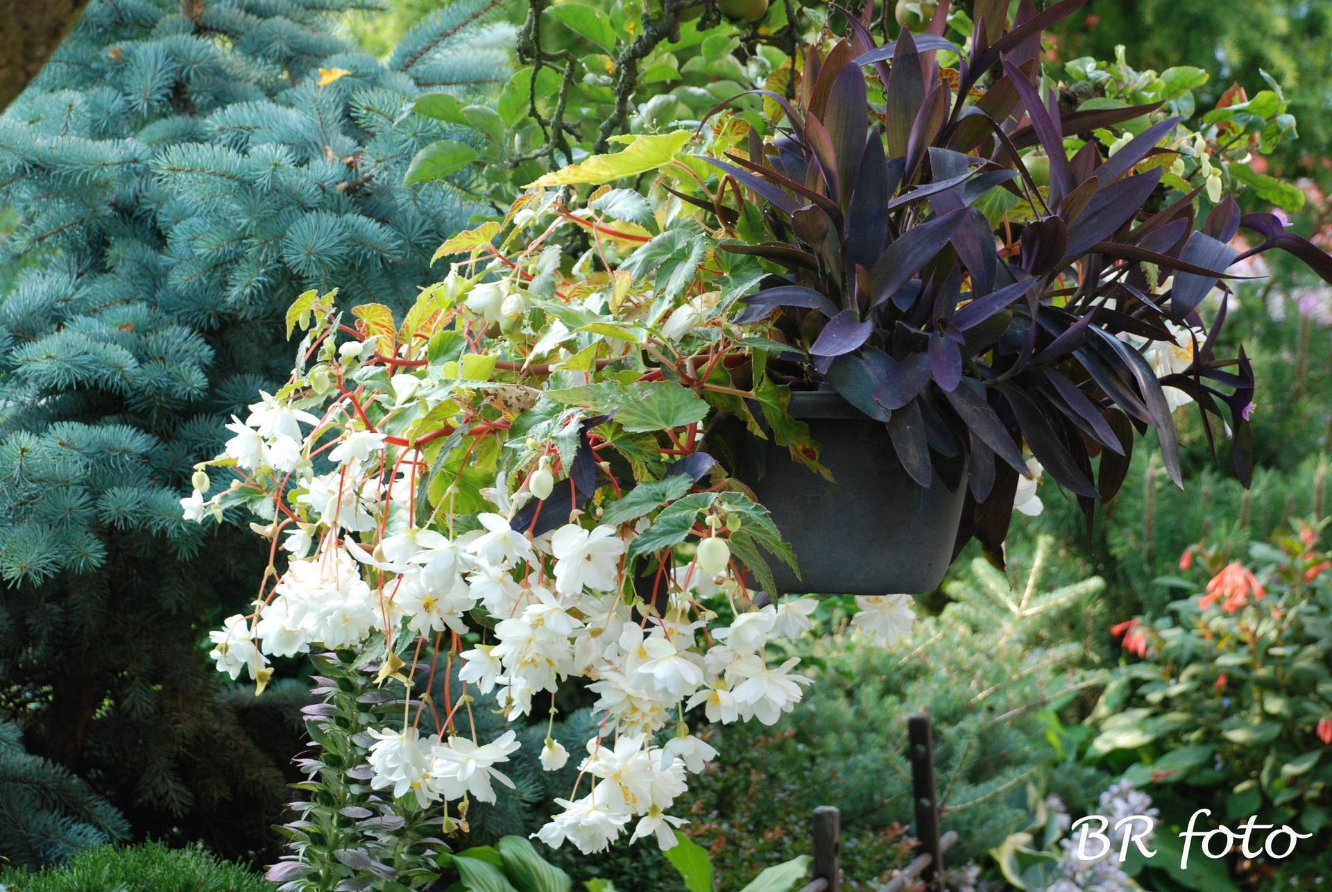 Zahrada v létě - k begonii jsem přidala fialovou tradeskancii, dala  jsem ji i do truhlíků a nádob