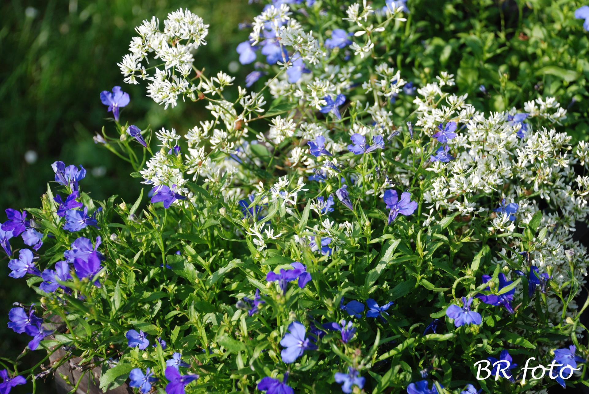 Zahrada v létě - kombinace jemných květů - lobelka a sněhová lavina tj pryšec třezalkovitý