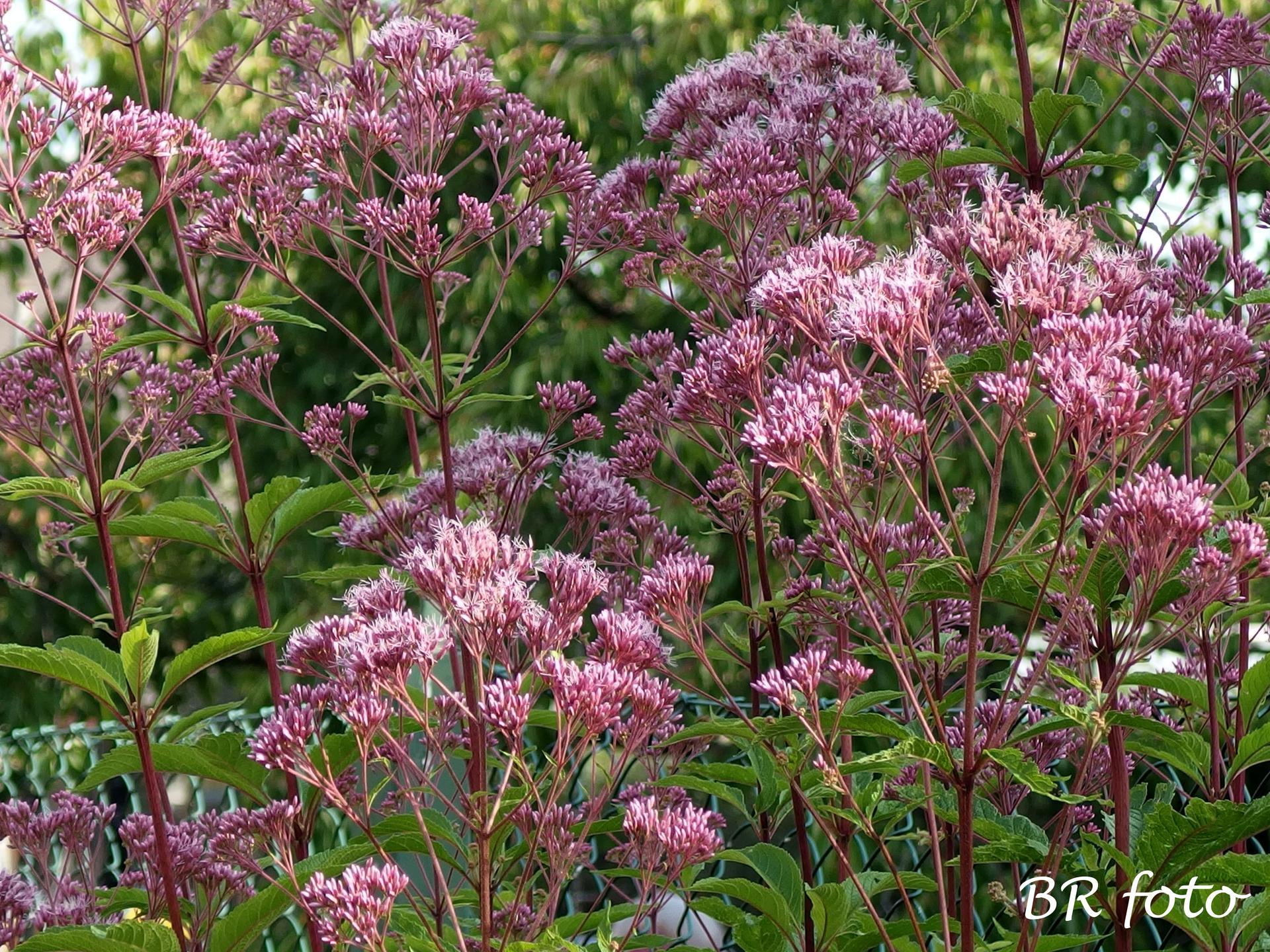 Zahrada v létě - sadec konopáč